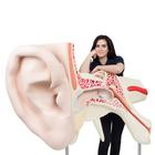 World's Largest Ear Model, 15 times Full-Size, 3 part - 3B Smart Anatomy, 1001266 [VJ510], Ear Models