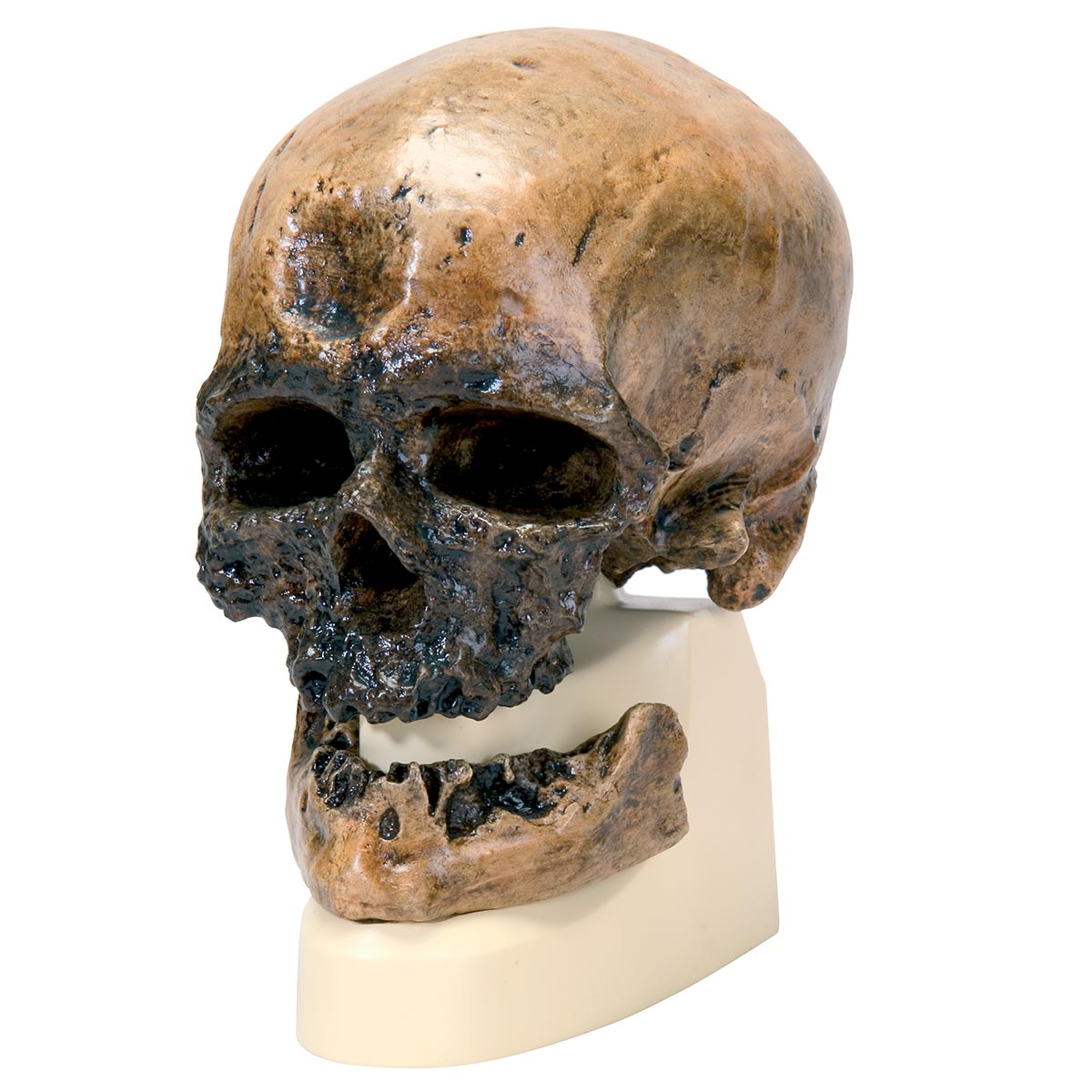 Comparative Anatomy Models - Plastic Skull Model - Anthropology ...