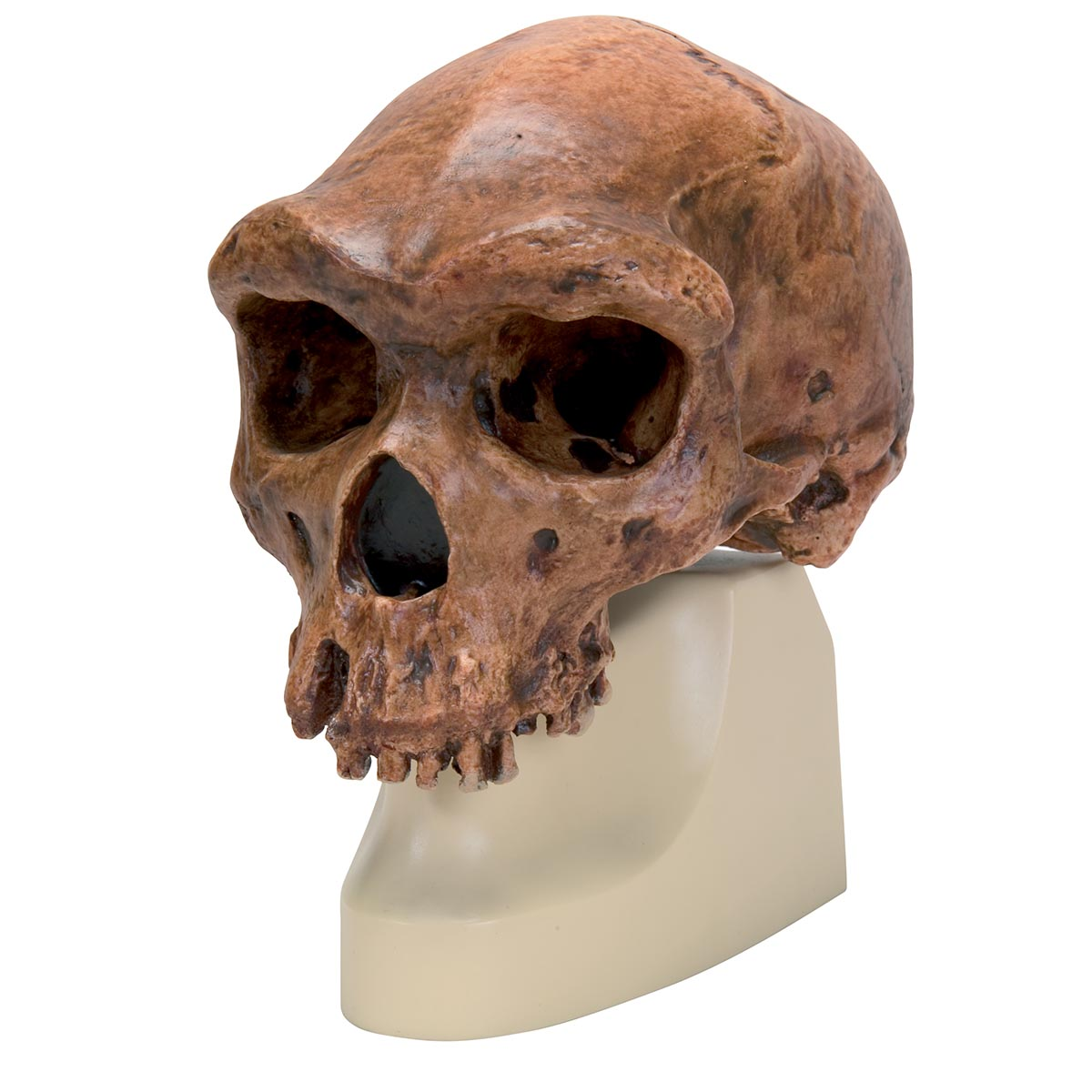 Comparative Anatomy Model - Plastic Skull Model - Anthropology Skull ...