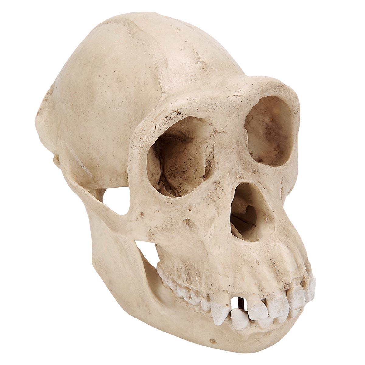 Chimpanzee Skull (Pan troglodytes), Female. Replica - 1001299 ...