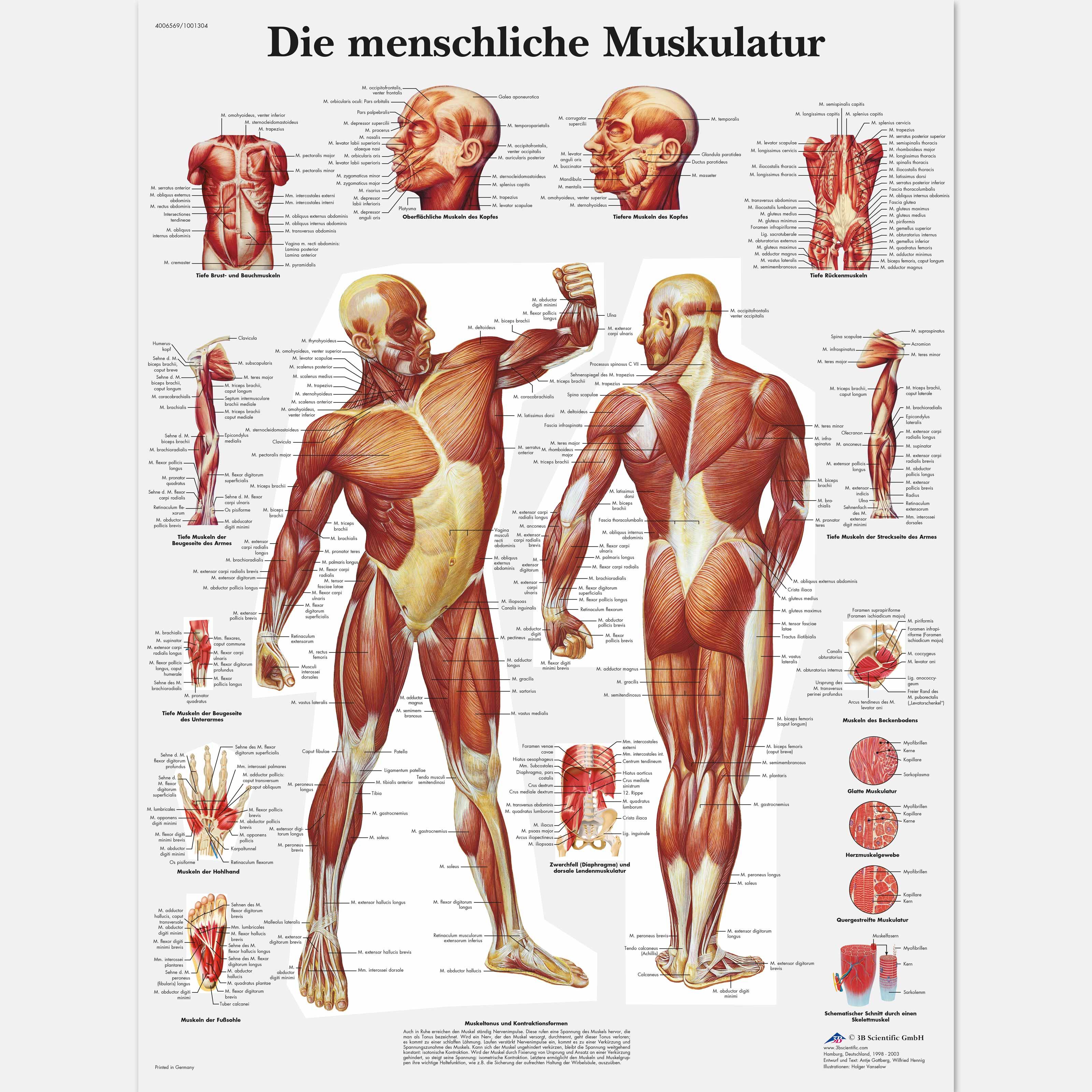 Die menschliche Muskulatur - 4006569 - VR0118UU - Muscle - 3B Scientific