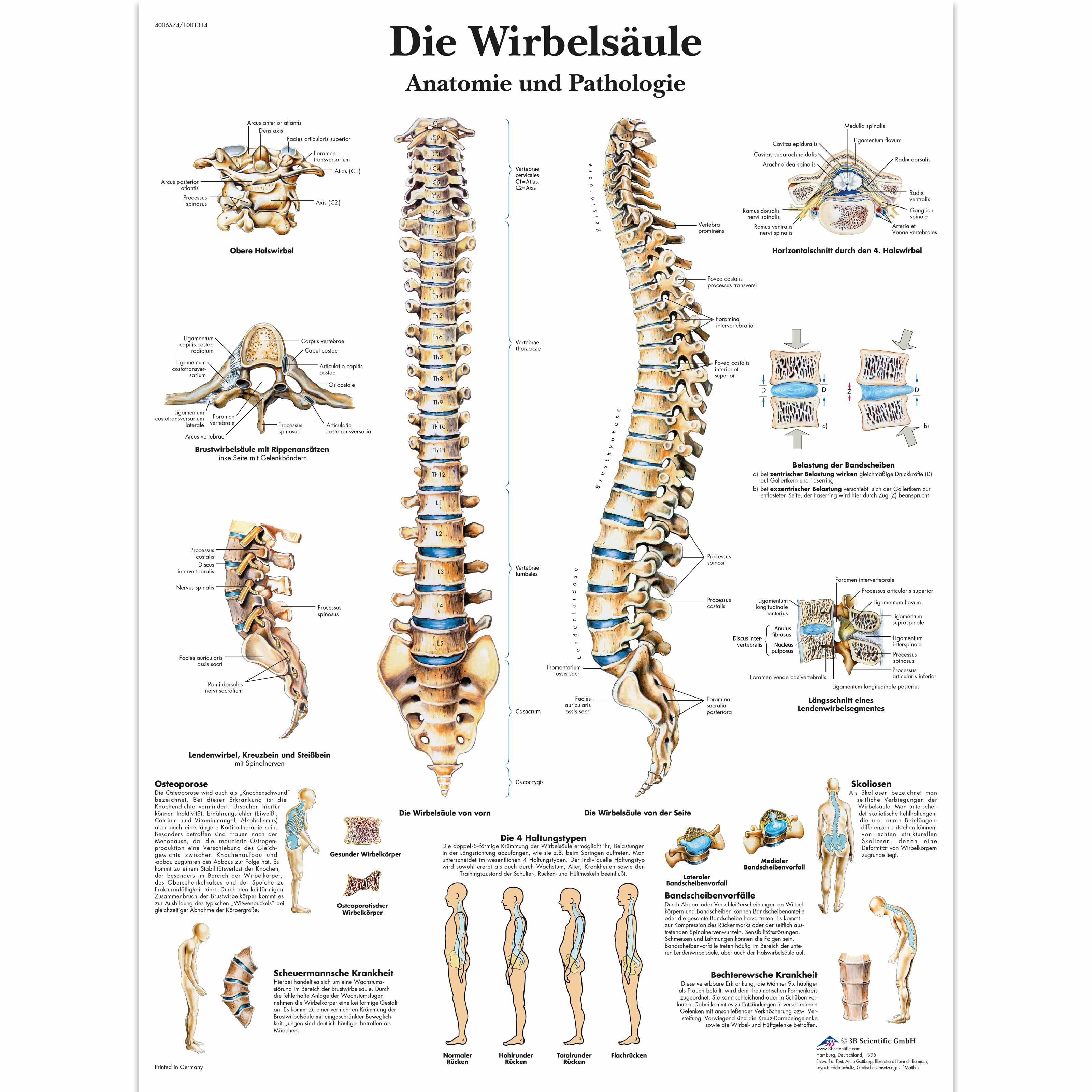 Die menschliche Wirbelsäule - Anatomie und Pathologie - 4006574 ...