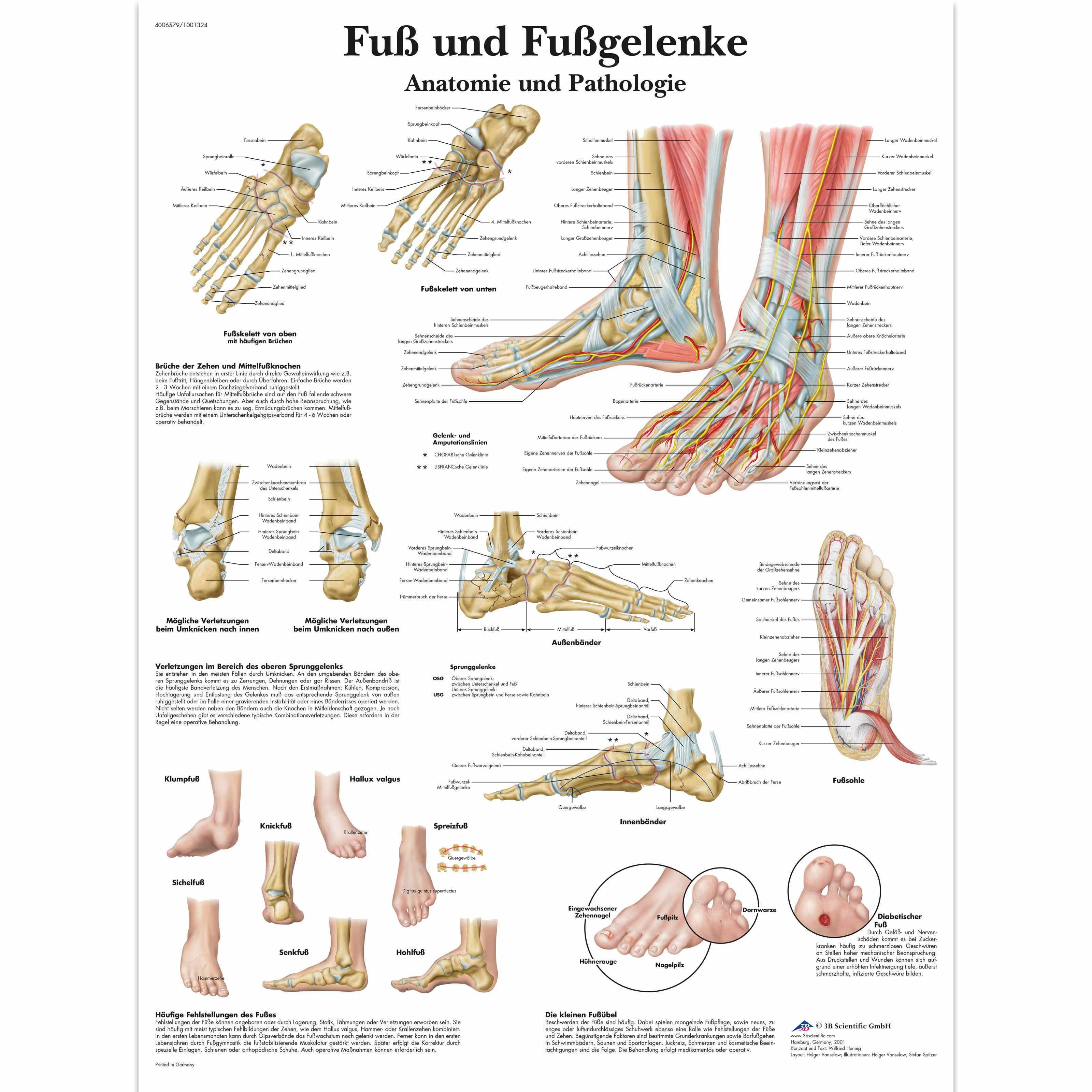 Fuß und Fußgelenke - Anatomie und Pathologie - 1001324 - VR0176L ...