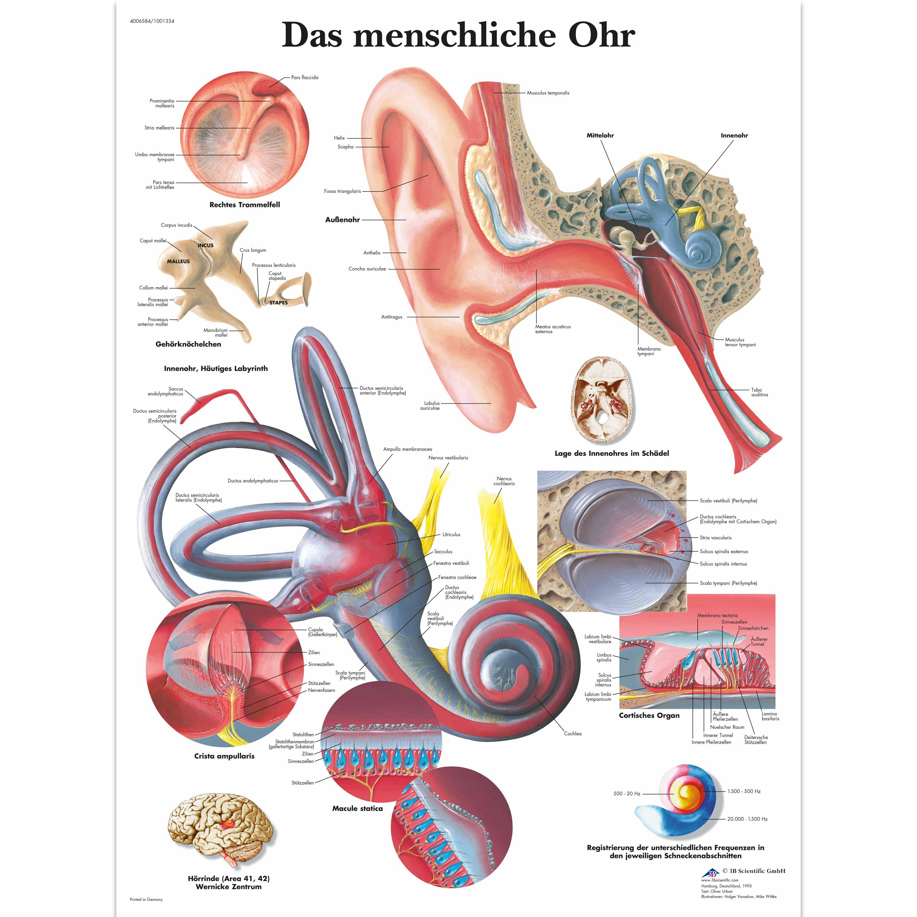 Das menschliche Ohr - 1001334 - VR0243L - Ear, Nose and Throat (ENT ...