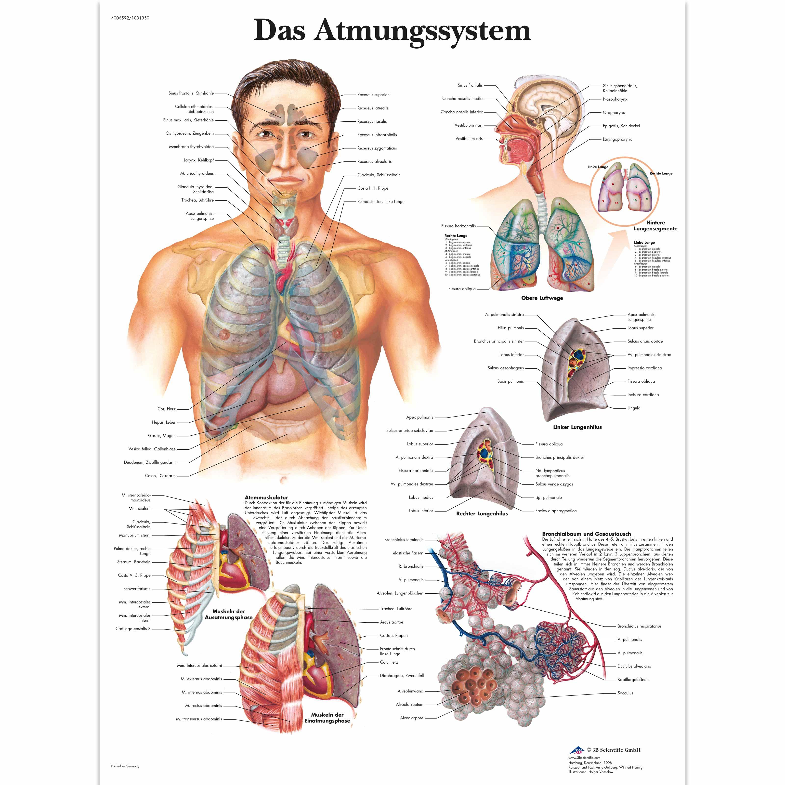 Erfreut Atmungssystem Anatomie Zeitgenössisch - Physiologie Von ...