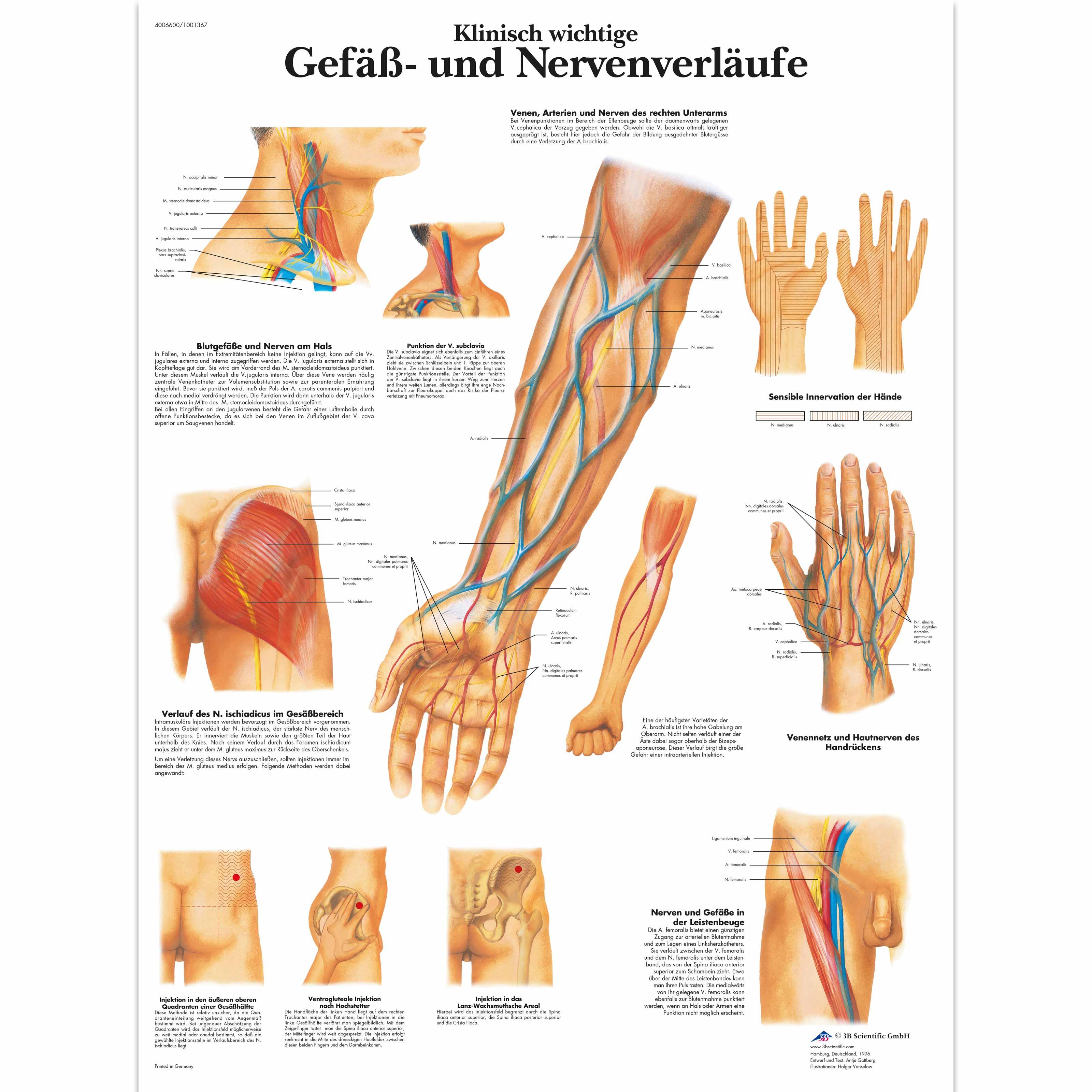 Klinisch wichtige Gefäß- und Nervenverläufe - 1001367 - VR0359L ...