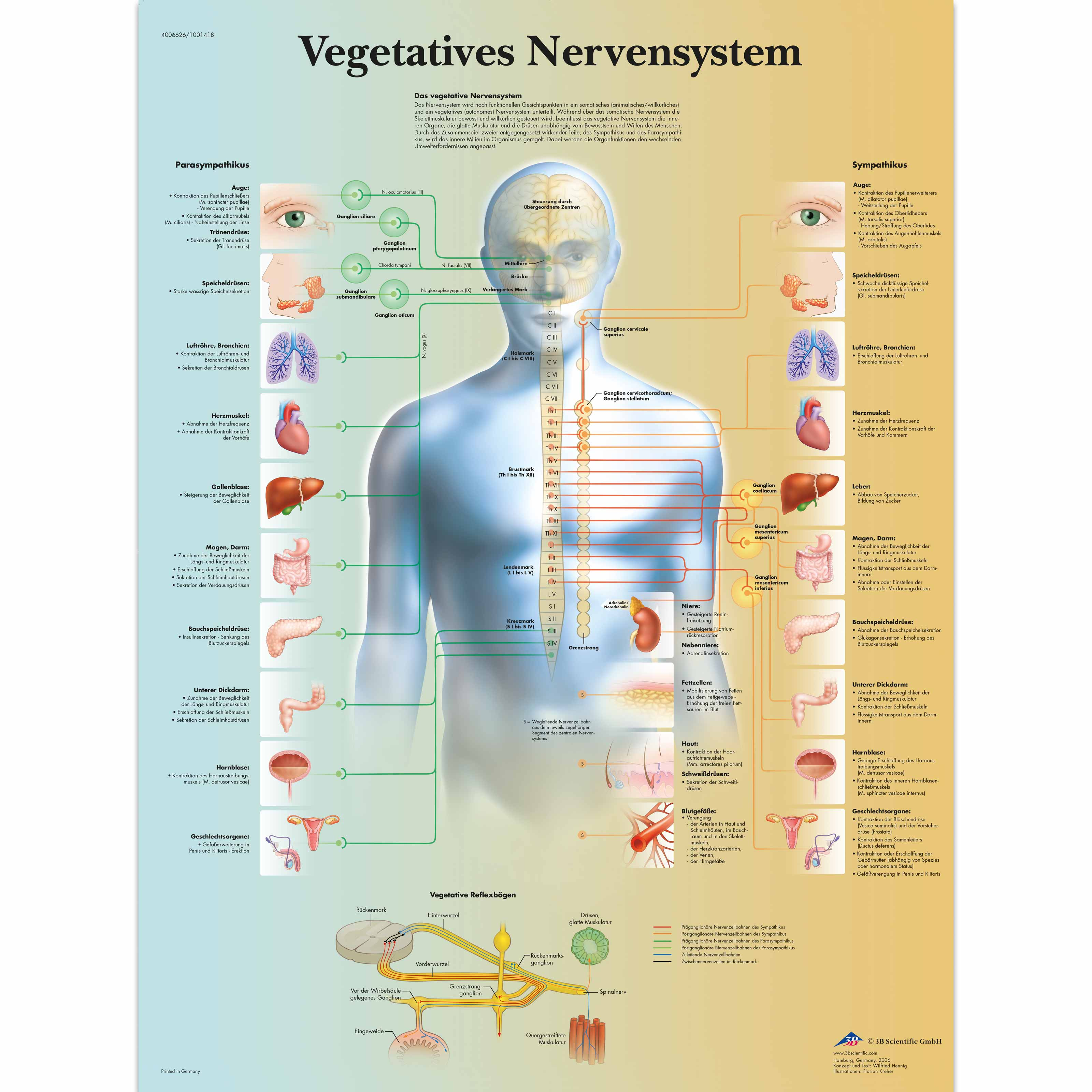 Vegetatives Nervensystem - 4006626 - VR0610uu - Brain and Nervous ...