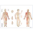 Körperakupunktur, 1001464 [VR0820L], Acupuncture Charts and Models