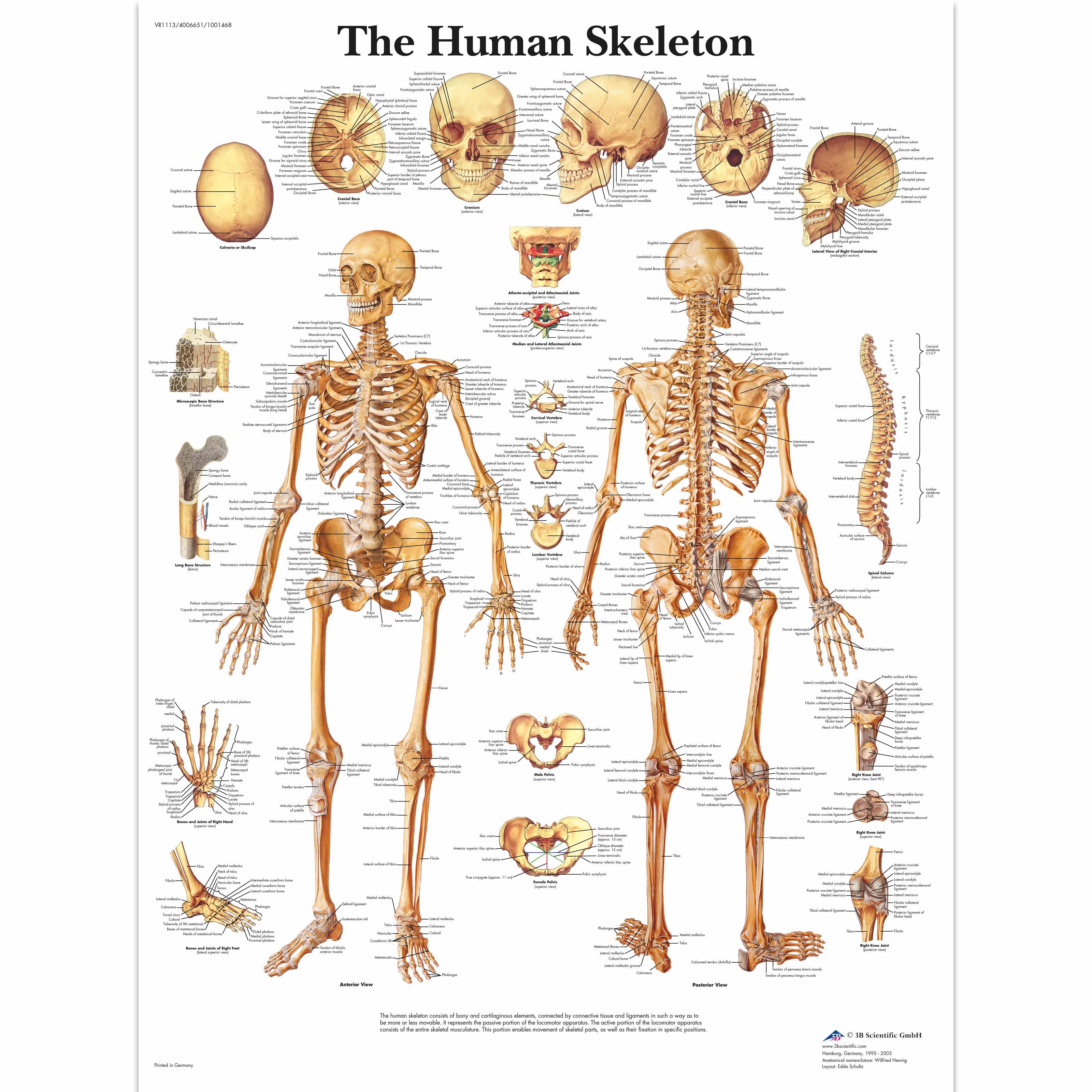 human skeleton poster | human skeleton chart | paper, Skeleton