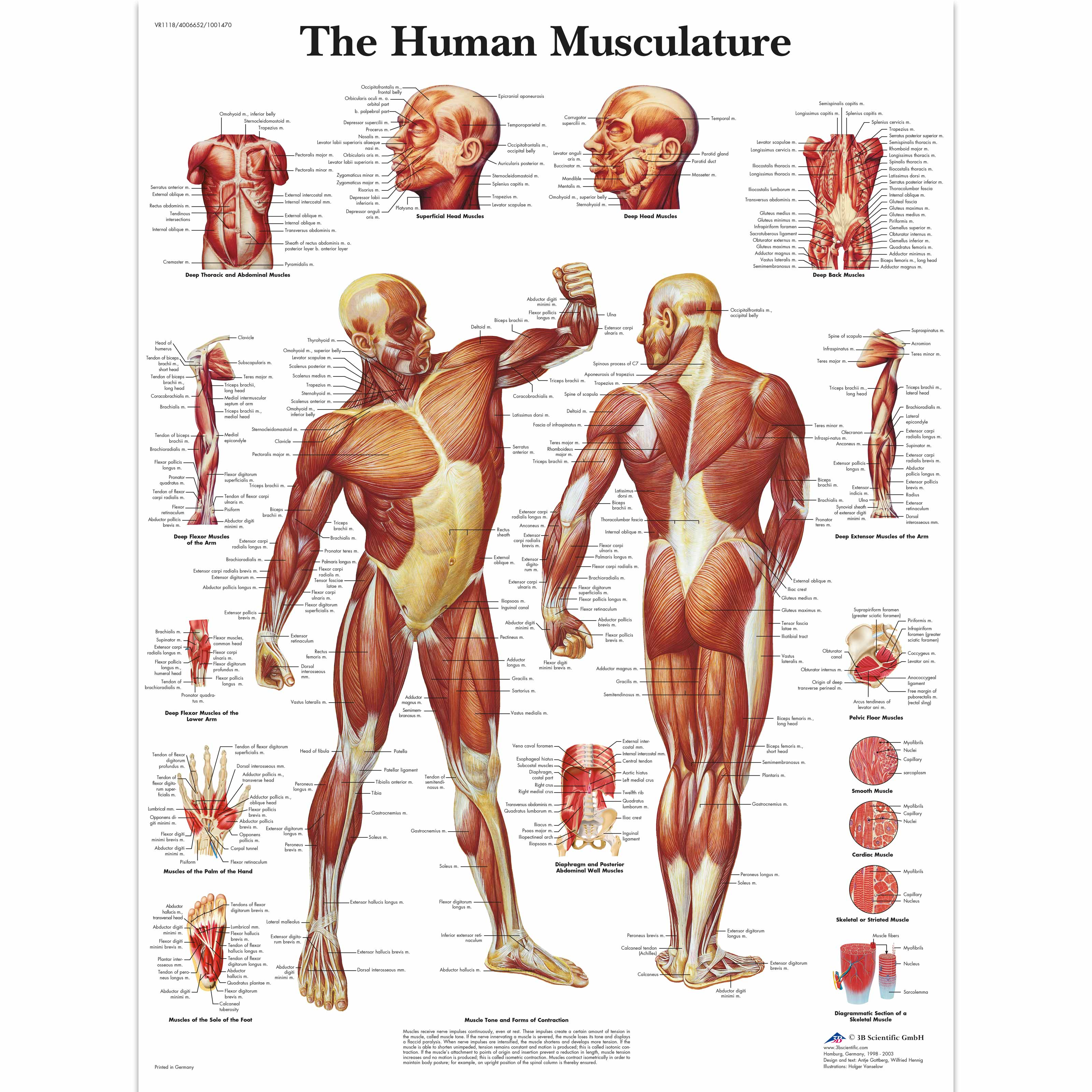 human muscle chart | human muscle poster | human musculature chart, Muscles