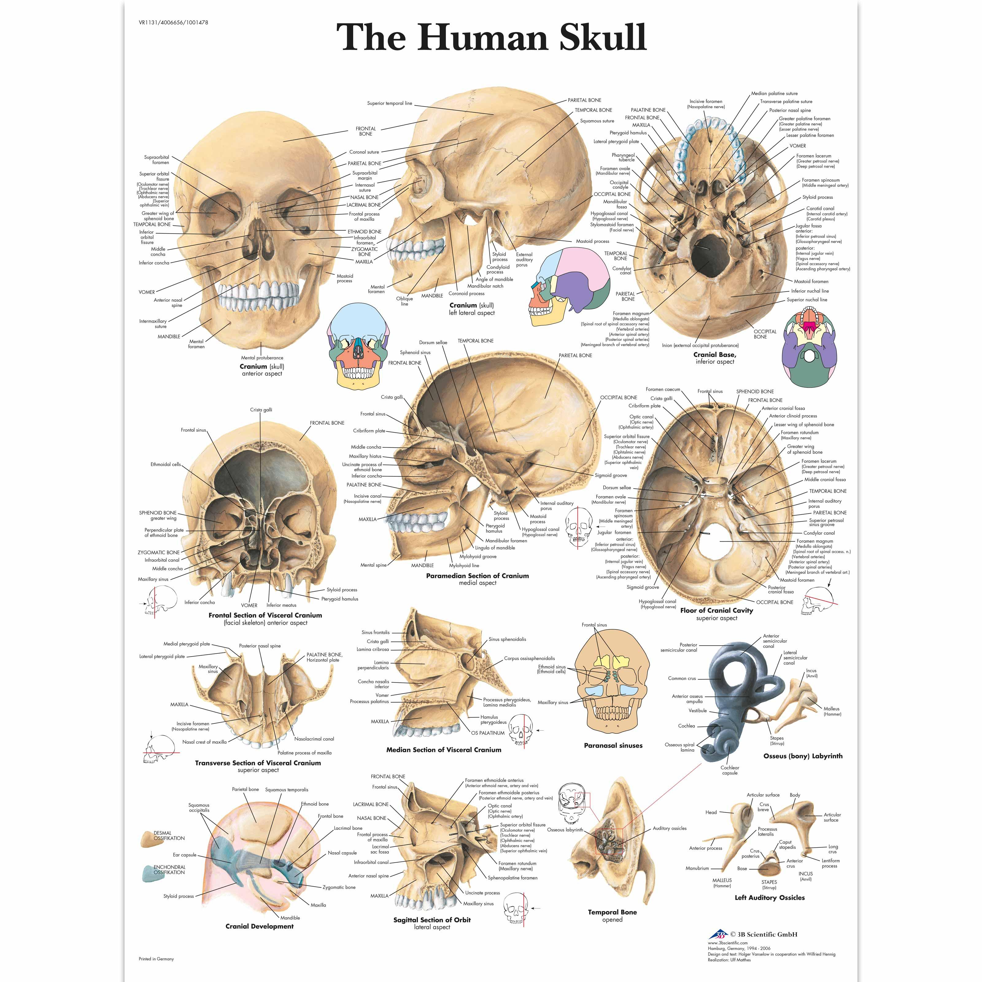 Human skull chart 1001478 vr1131l skeletal system 3b scientific human skull chart ccuart Gallery