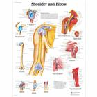 Shoulder and Elbow Chart, 1001482 [VR1170L], Skeletal System