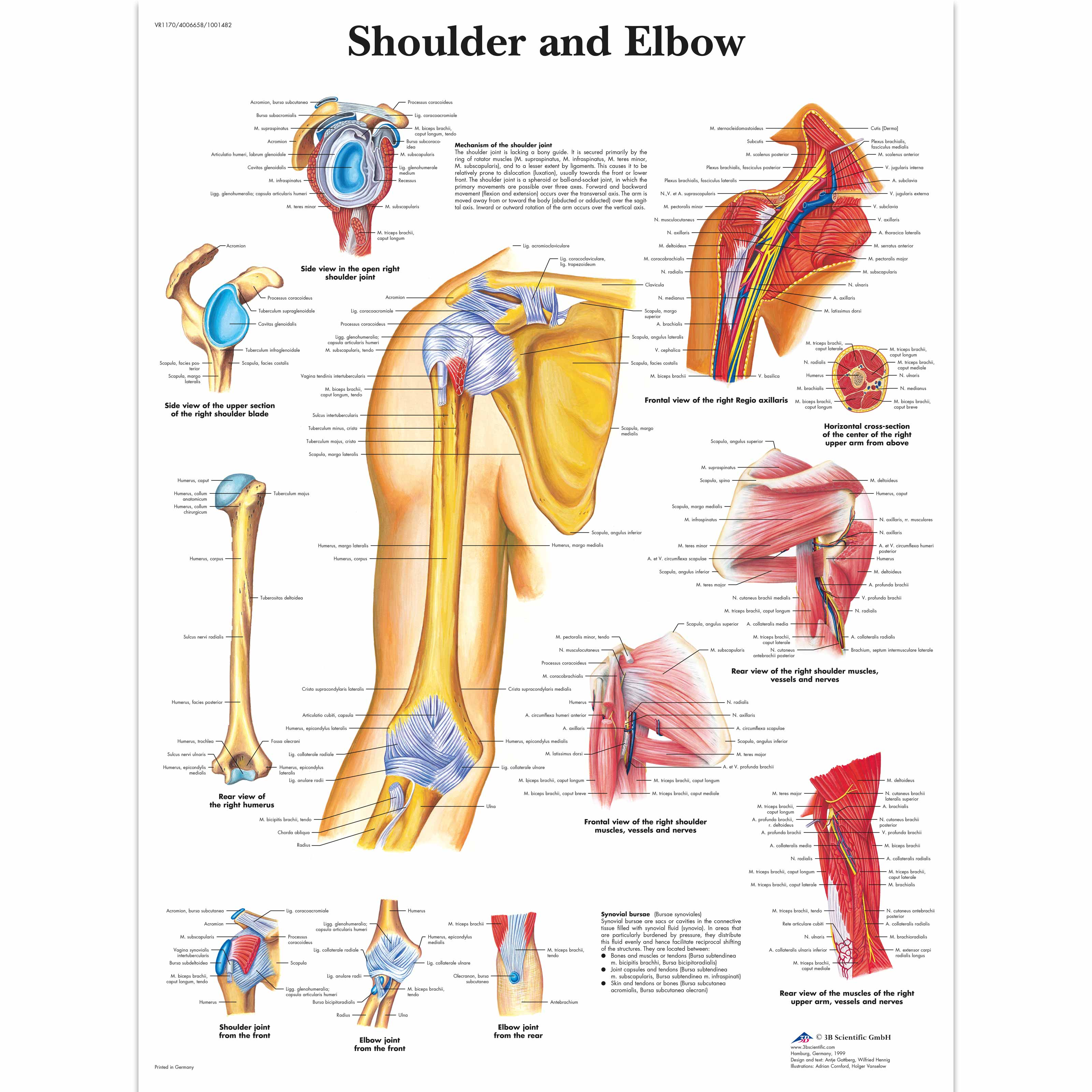 Anatomical Charts And Posters Anatomy Charts Arm And Leg Charts