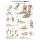 Foot and Joints of Foot Chart - Anatomy and Pathology, 1001490 [VR1176L], Skeletal System