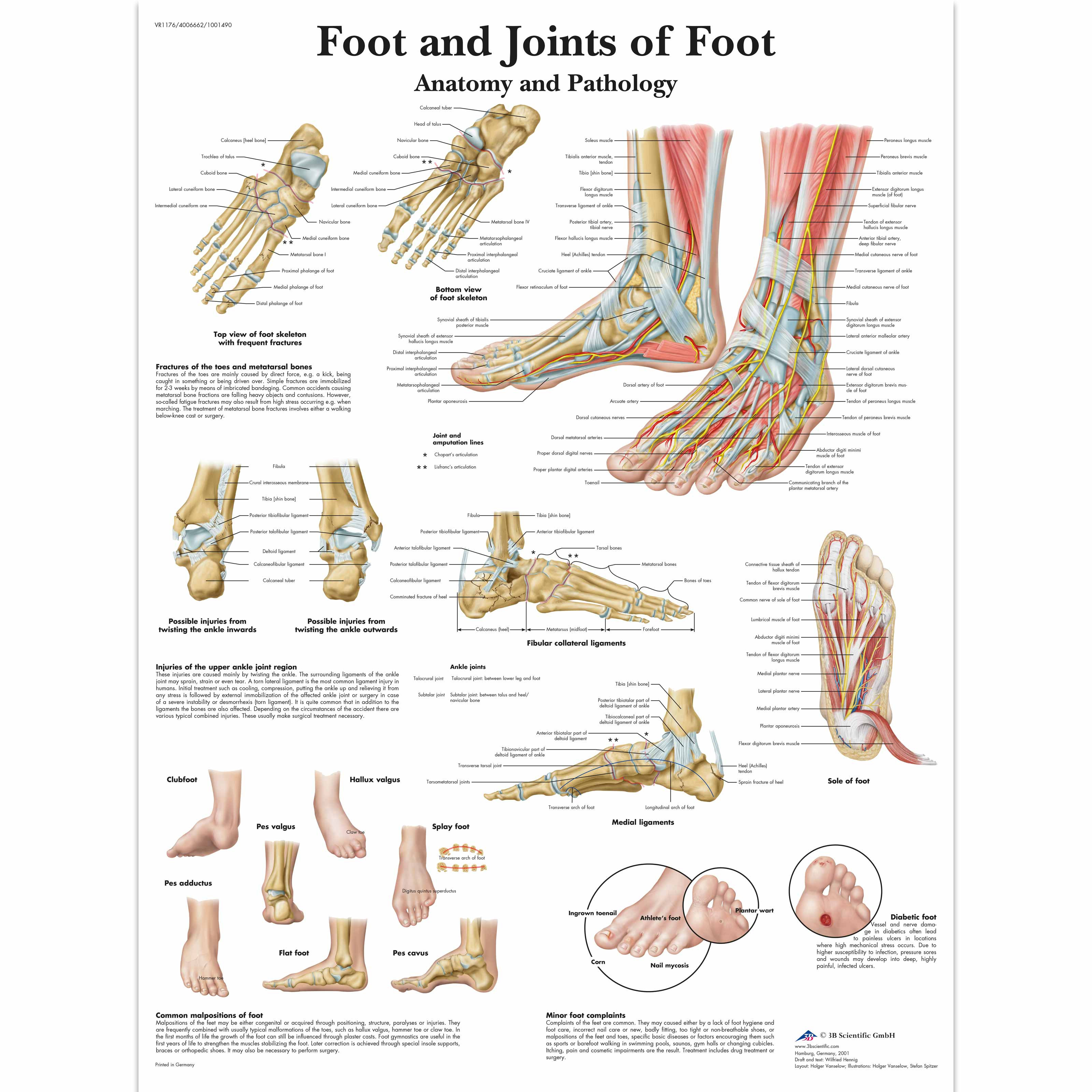 Anatomical Charts and Posters - Anatomy Charts - Foot and Ankle ...