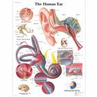 Human Ear Chart, 1001500 [VR1243L], Ear, Nose and Throat (ENT)