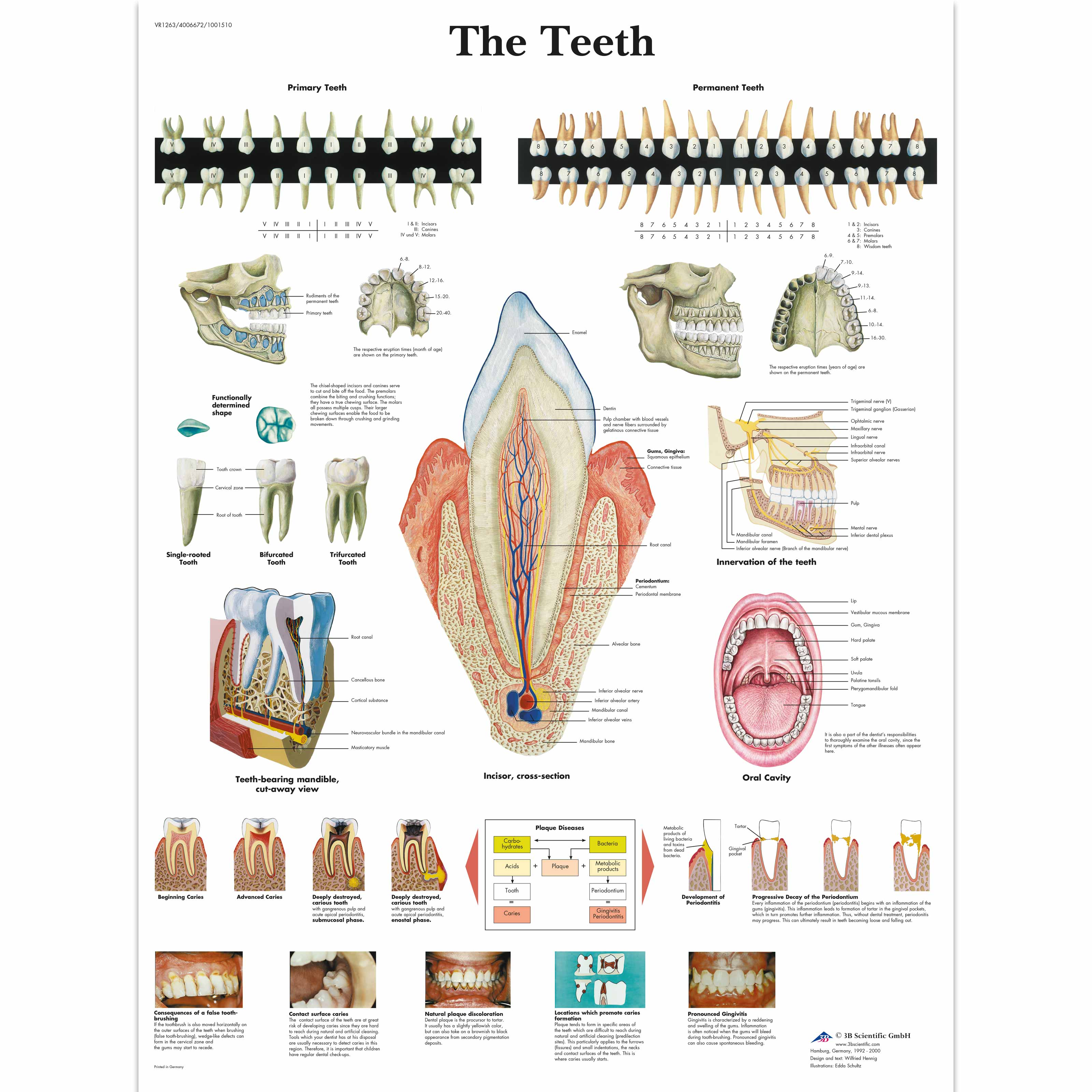 Anatomical Charts and Posters - Anatomy Charts - Dental Charts ...