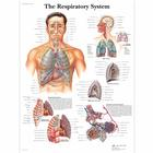 The Respiratory System Chart, 1001516 [VR1322L], Respiratory System