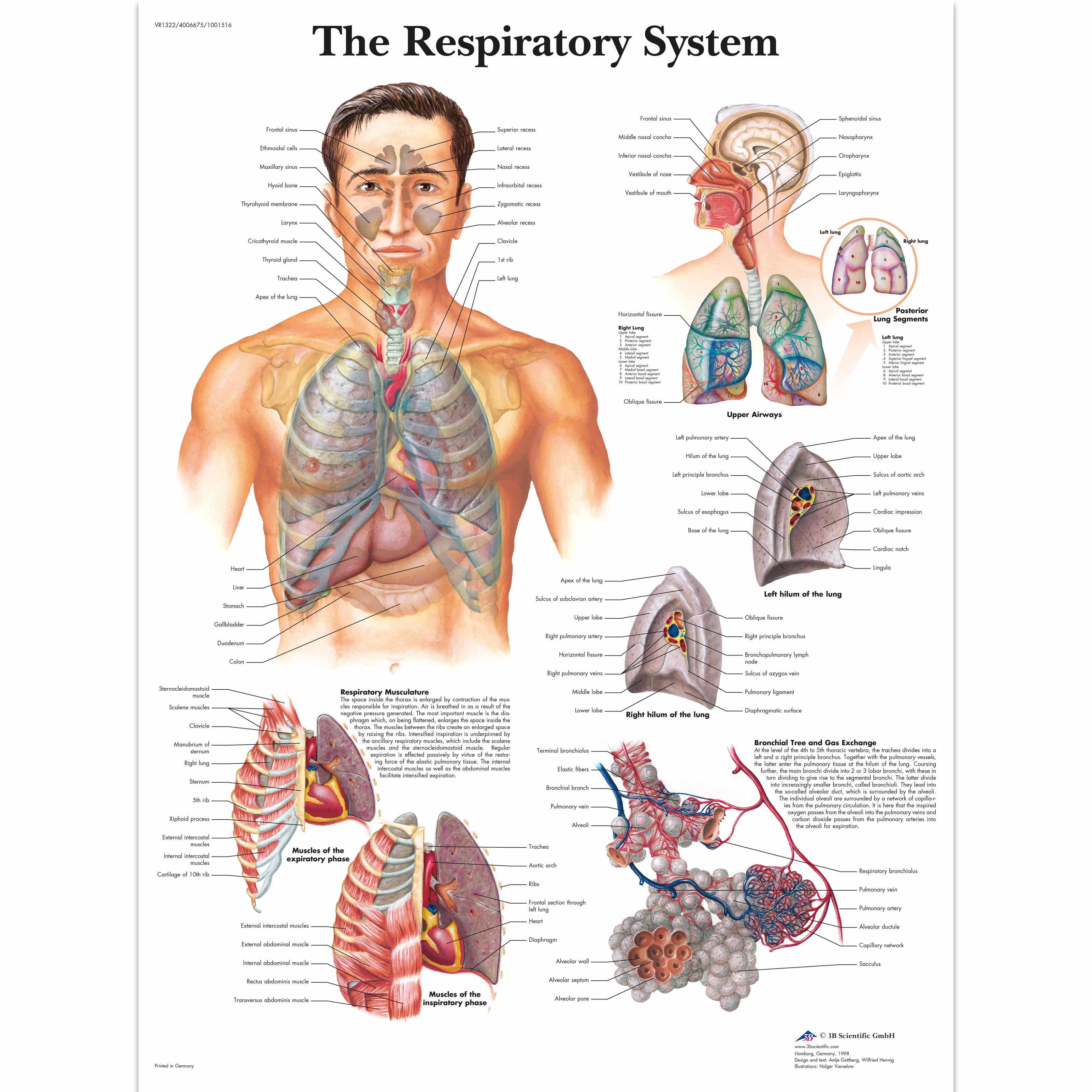 anatomical charts and posters - anatomy charts - respiratory, Muscles