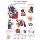 The Human Heart Chart - Anatomy and Physiology, 4006679 [VR1334UU], Cardiovascular System