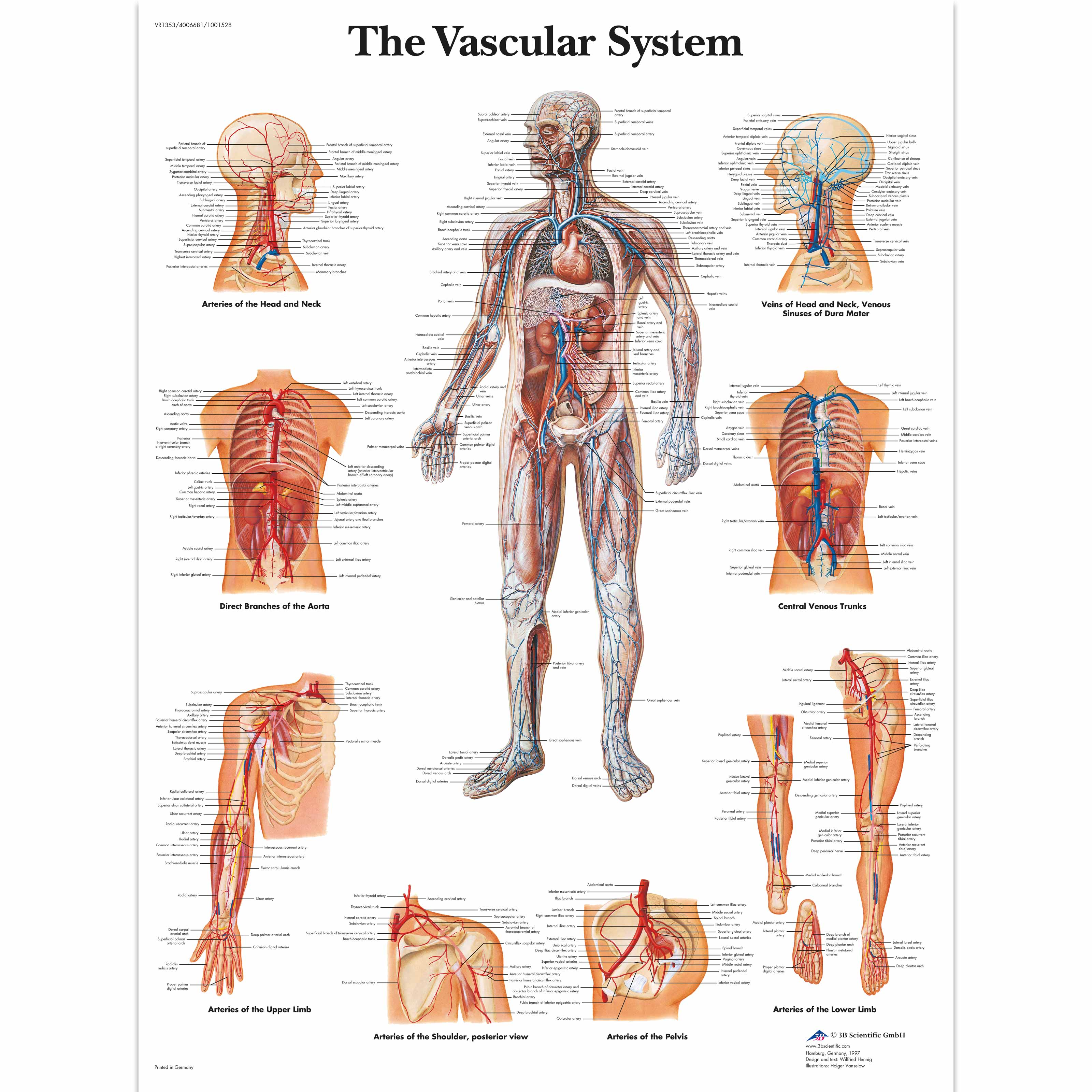 Anatomical Charts and Posters | Anatomy Charts | Vascular System ...