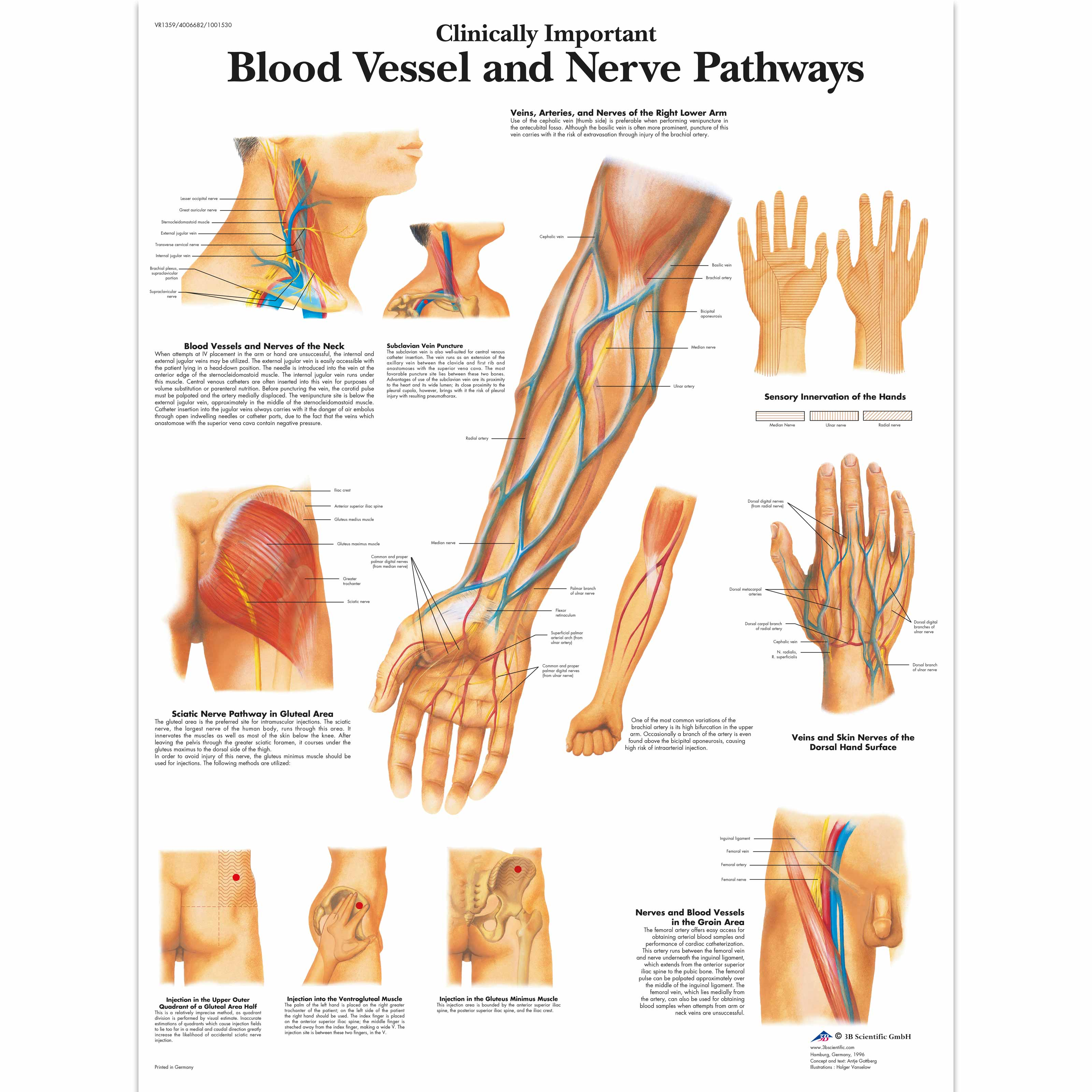 Clinically Important Blood Vessel and Nerve Pathways Chart - 4006682 ...