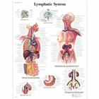 Lymphatic System Chart, 4006687 [VR1392UU], The Lymphatic System