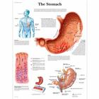 The Stomach Chart, 4006690 [VR1426UU], Digestive System