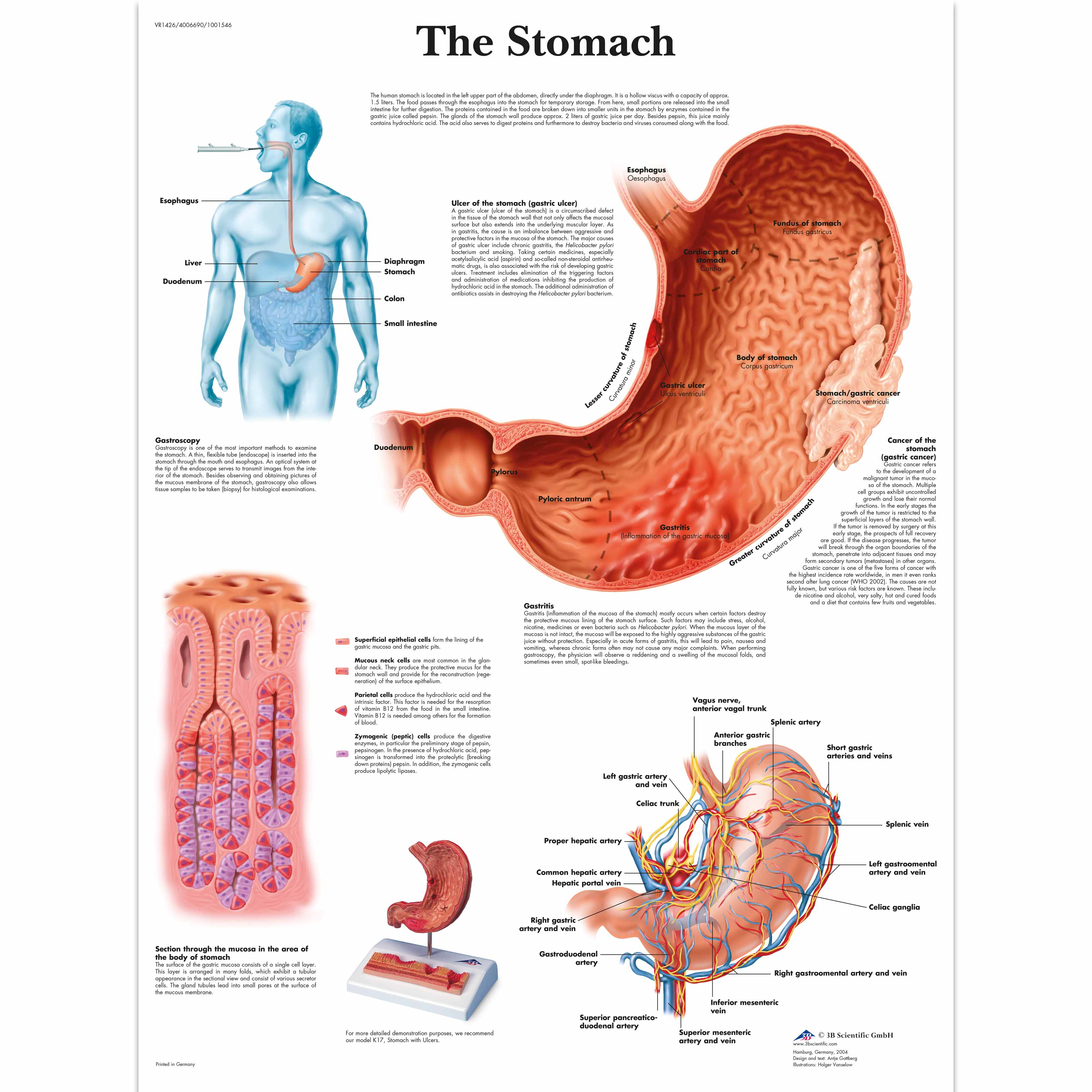 Anatomical Charts And Posters Anatomy Charts Digestive System