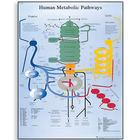 Human Metabolic Pathways Chart, 4006695 [VR1451UU], Cell Genetics
