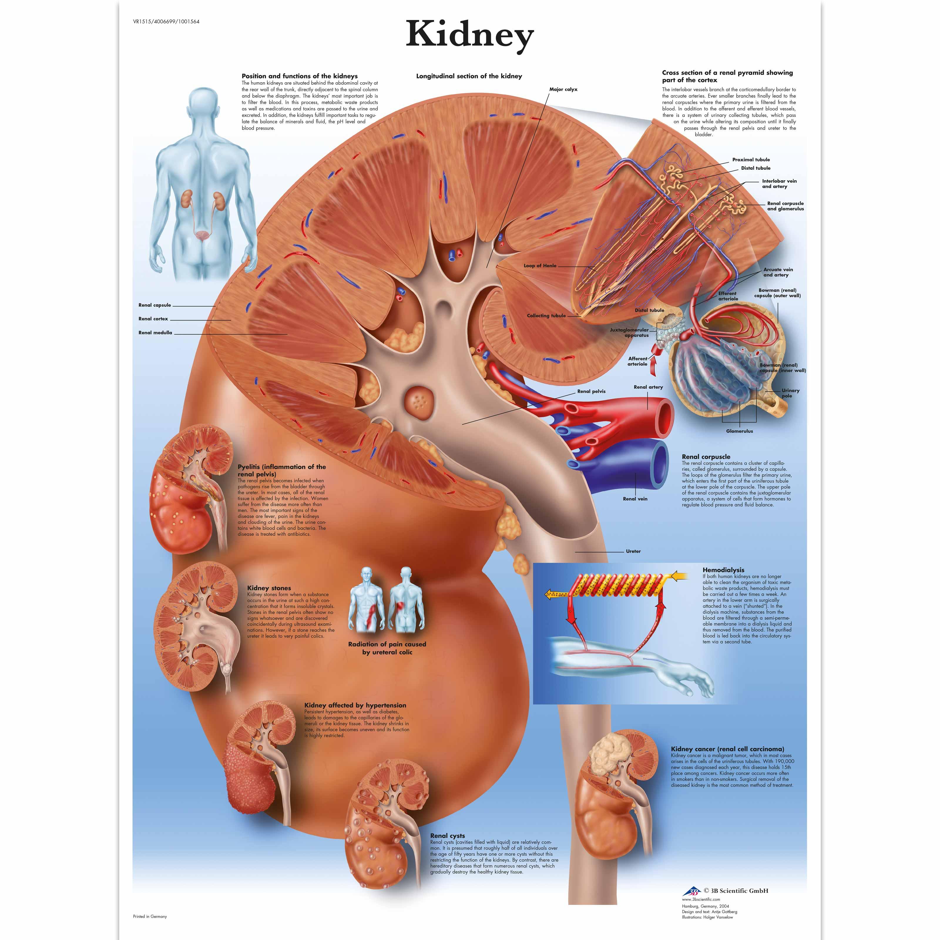 Kidney Chart 4006699 Vr1515uu Metabolic System 3b Scientific