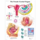 The Female Genital Organs Chart, 1001568 [VR1532L], Gynaecology