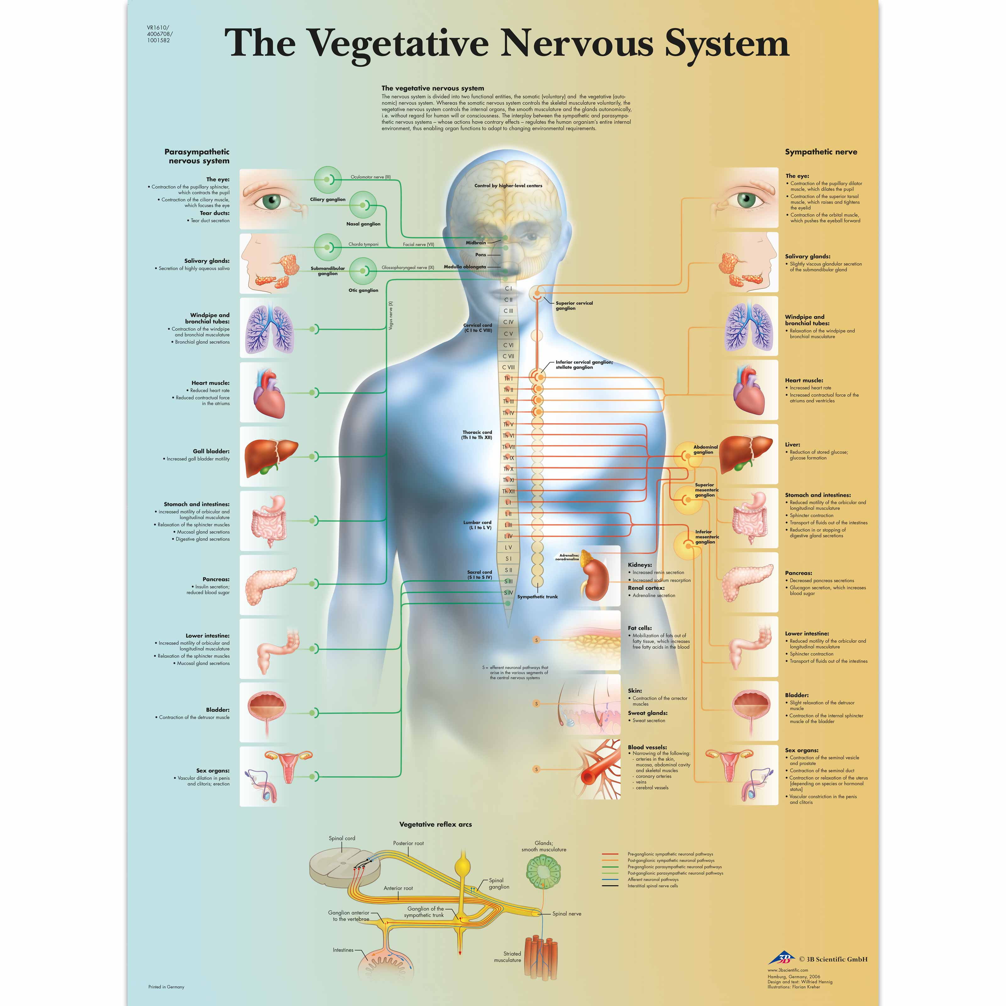 nervous system charts - People.davidjoel.co