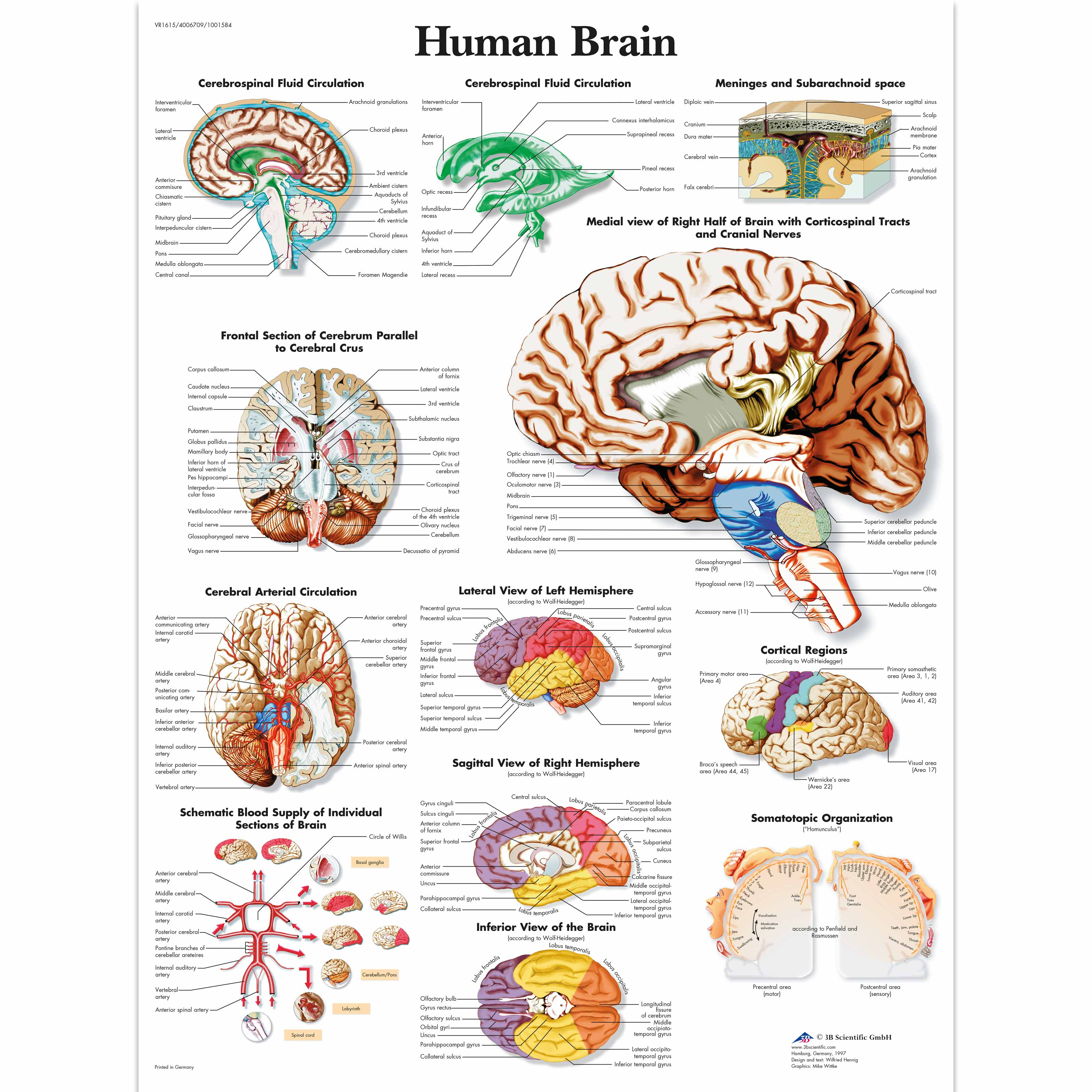 Anatomical Charts | Neurological Posters | Human Brain Laminated Chart