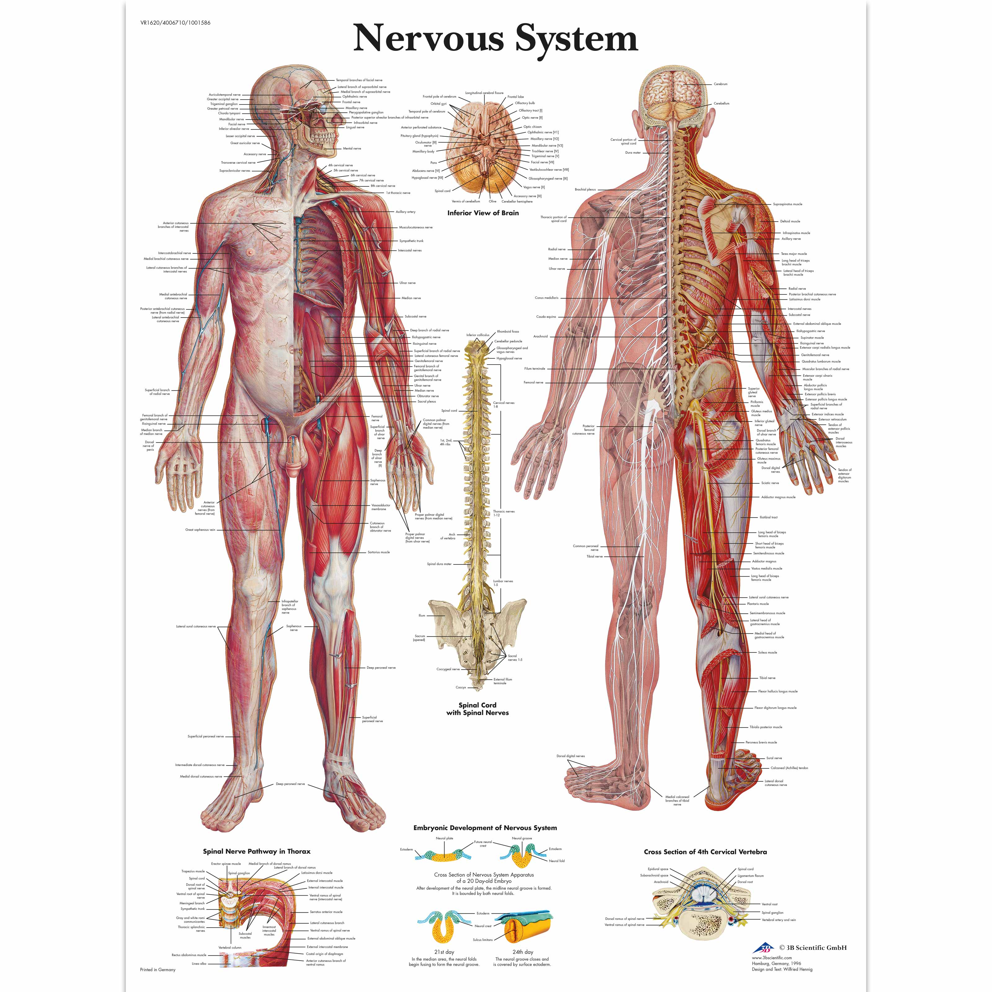 Human Nervous System Chart Human Nervous System Poster Laminated