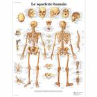 Le squelette humain, 4006732 [VR2113UU], Skeletal System