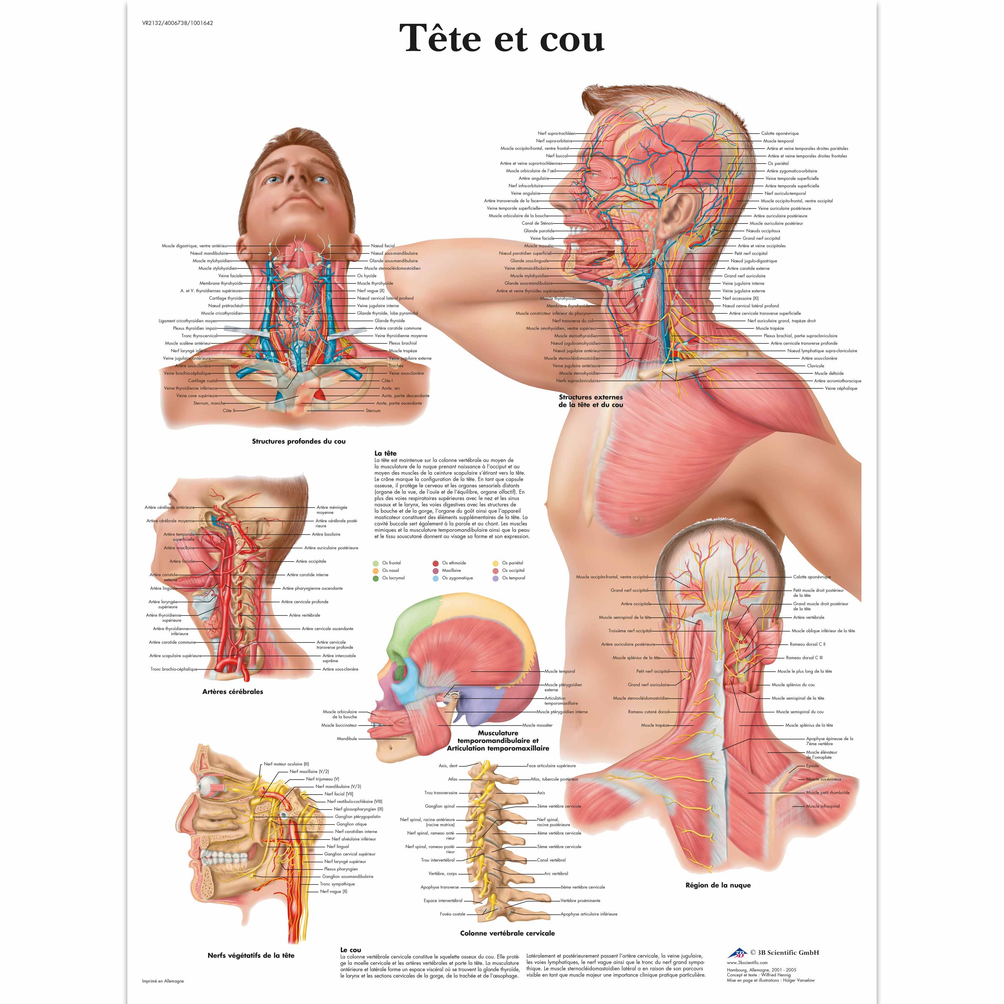 Tête et cou - 1001642 - VR2132L - Muscle - 3B Scientific