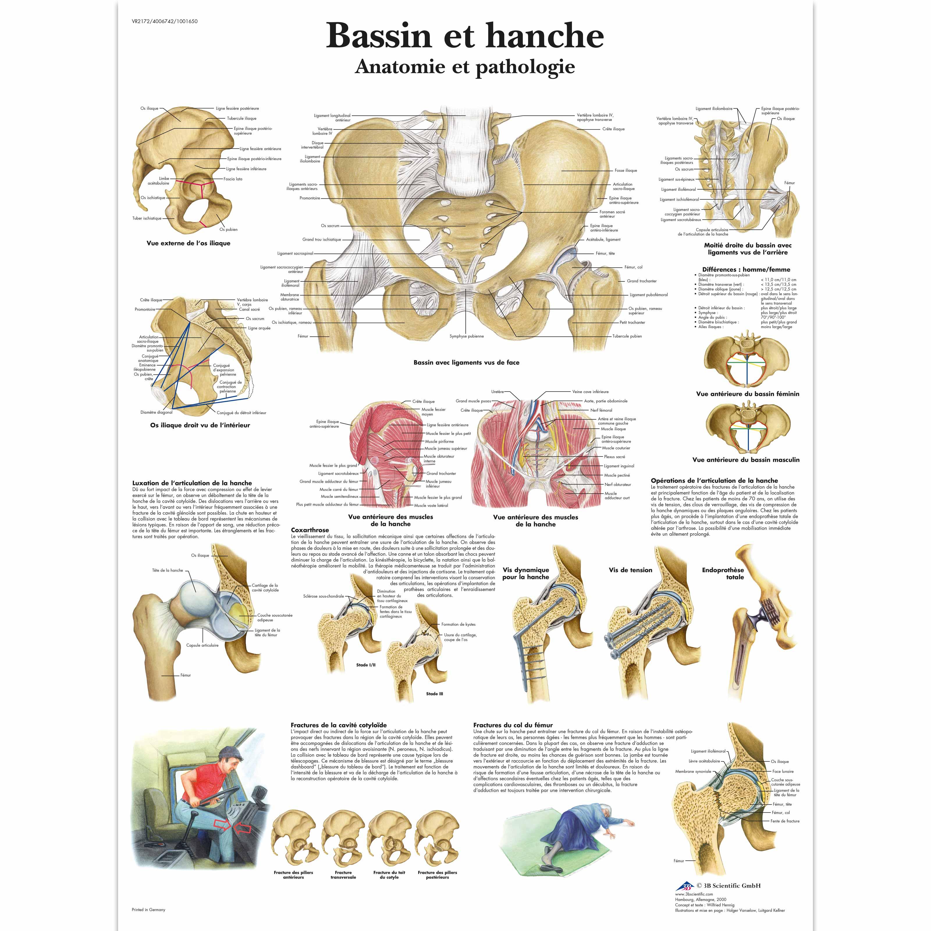 Bassin et hanche - Anatomie et pathologie - 1001650 - VR2172L ...