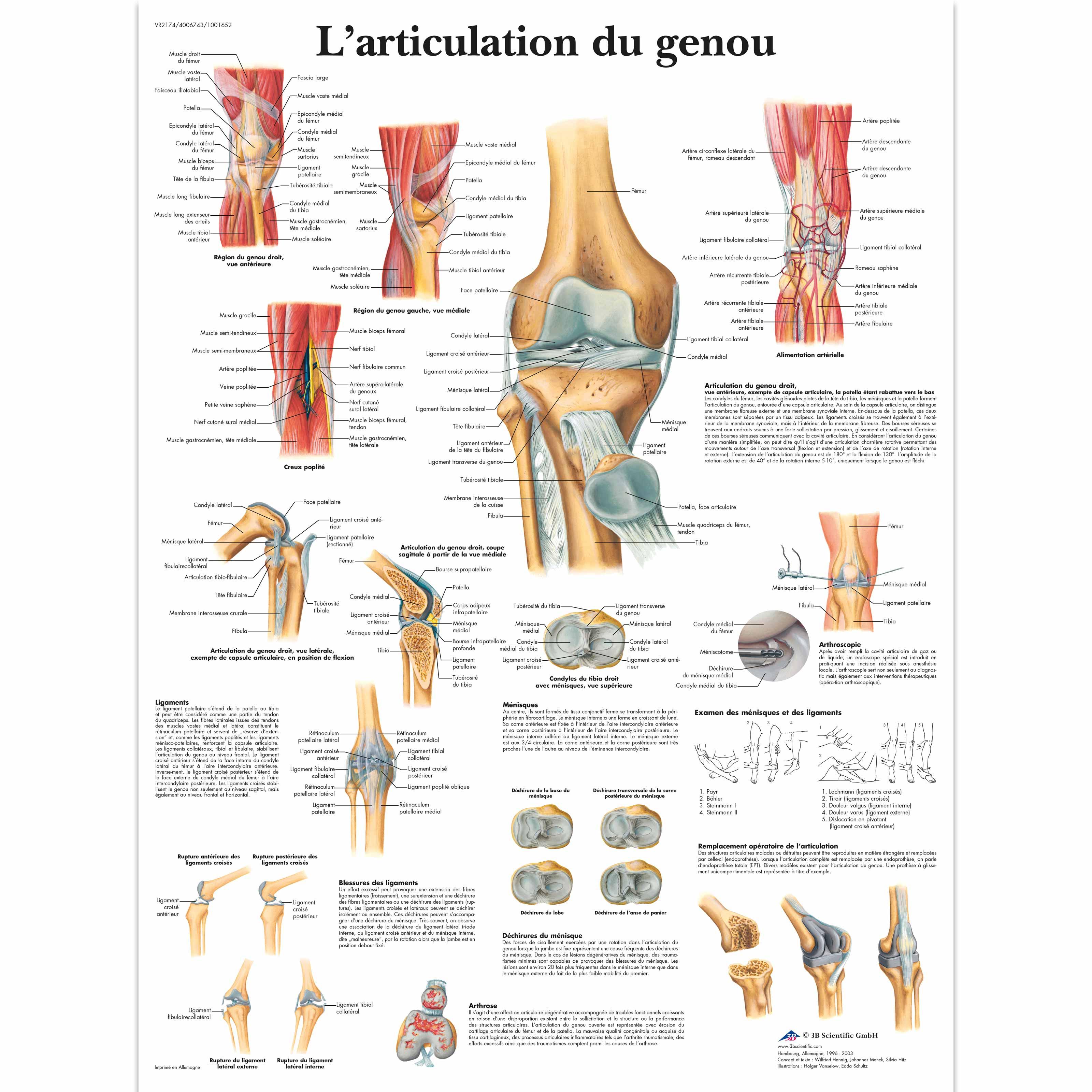 L\'articulation du genou - 1001652 - VR2174L - Skeletal System - 3B ...
