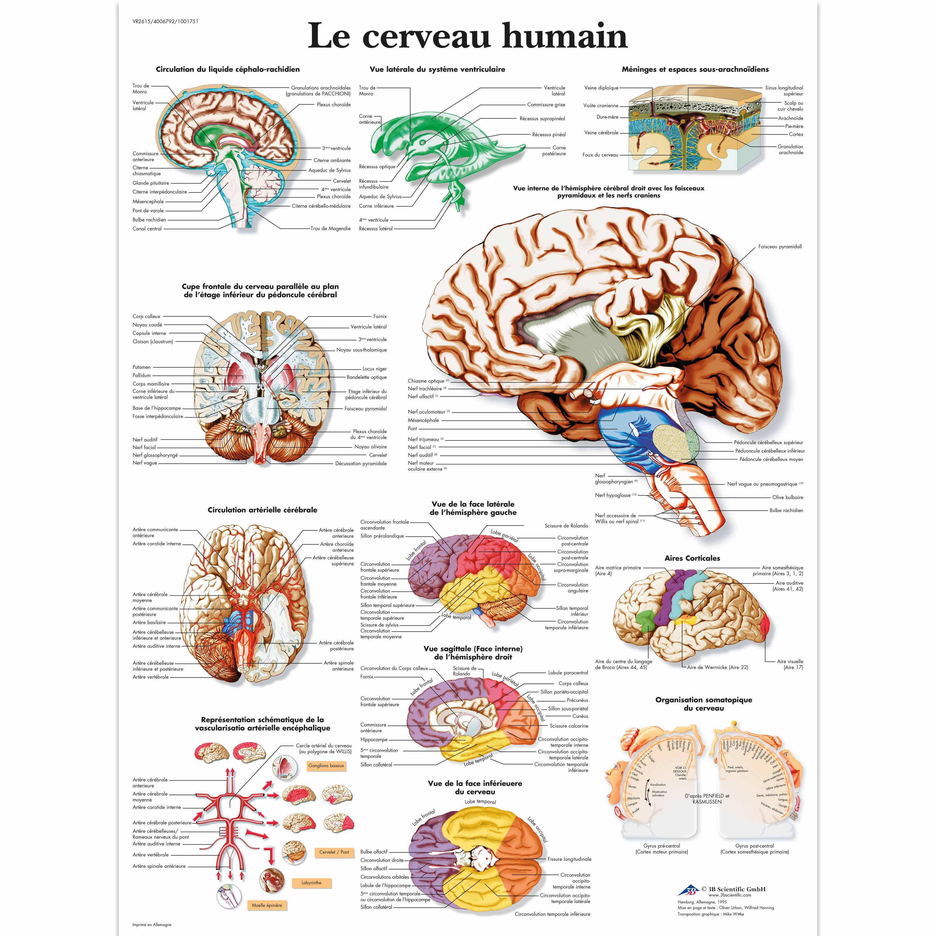 Le cerveau humain - 1001751 - VR2615L - Brain and Nervous system ...