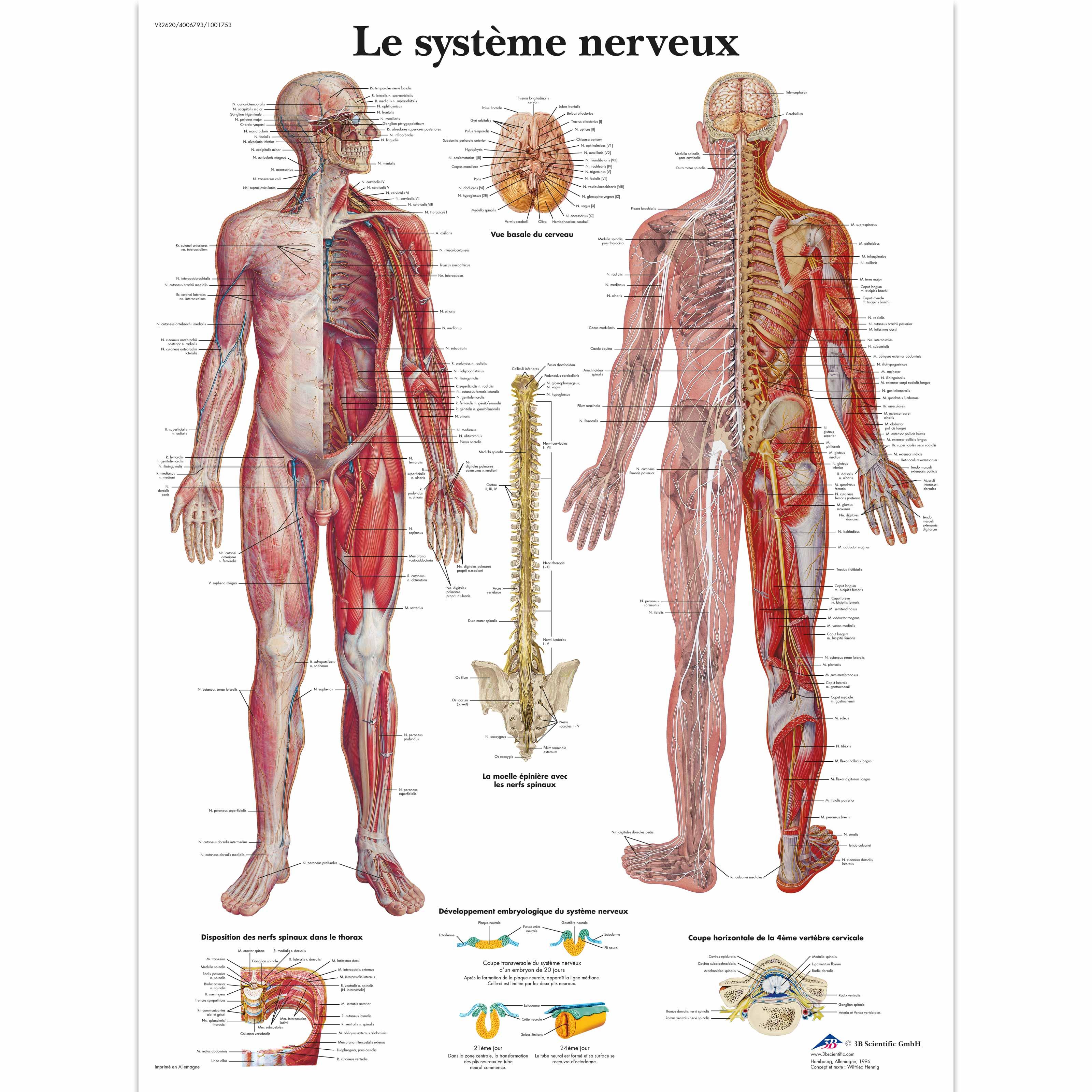 Le système nerveux - 4006793 - VR2620UU - Brain and Nervous system ...