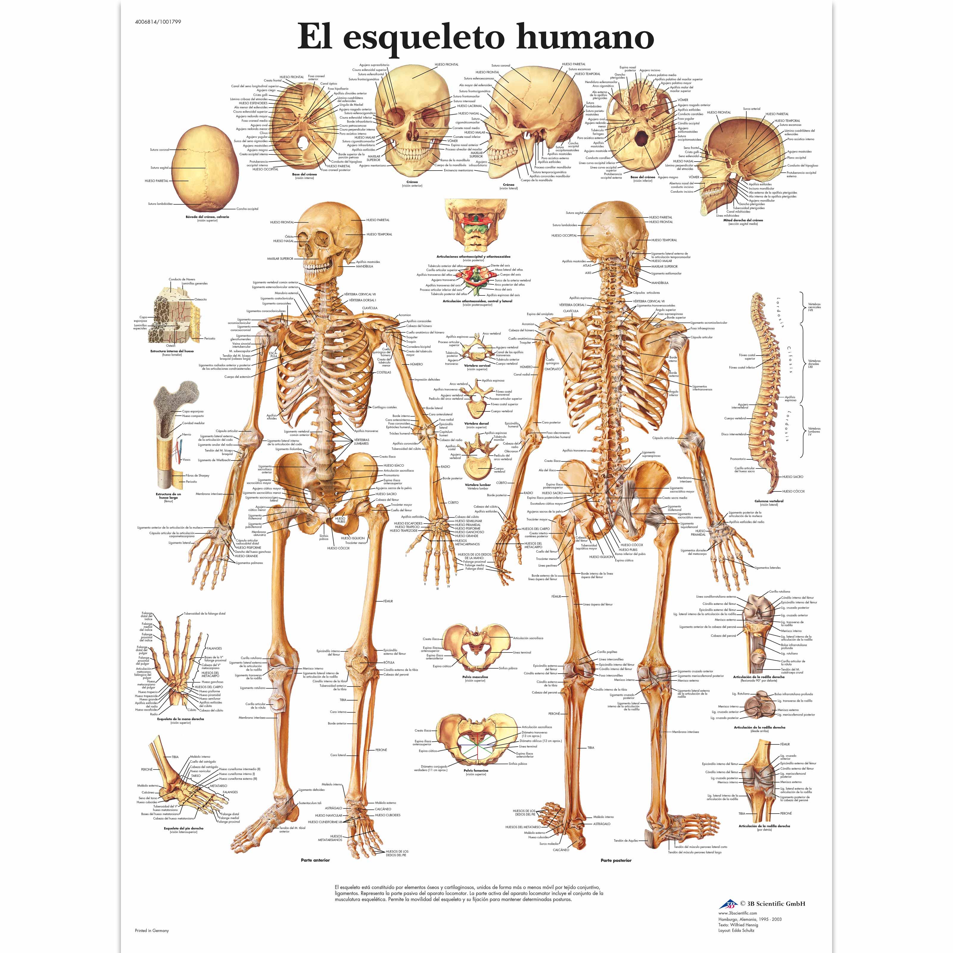 El esqueleto humano - 1001799 - VR3113L - Skeletal System - 3B ...