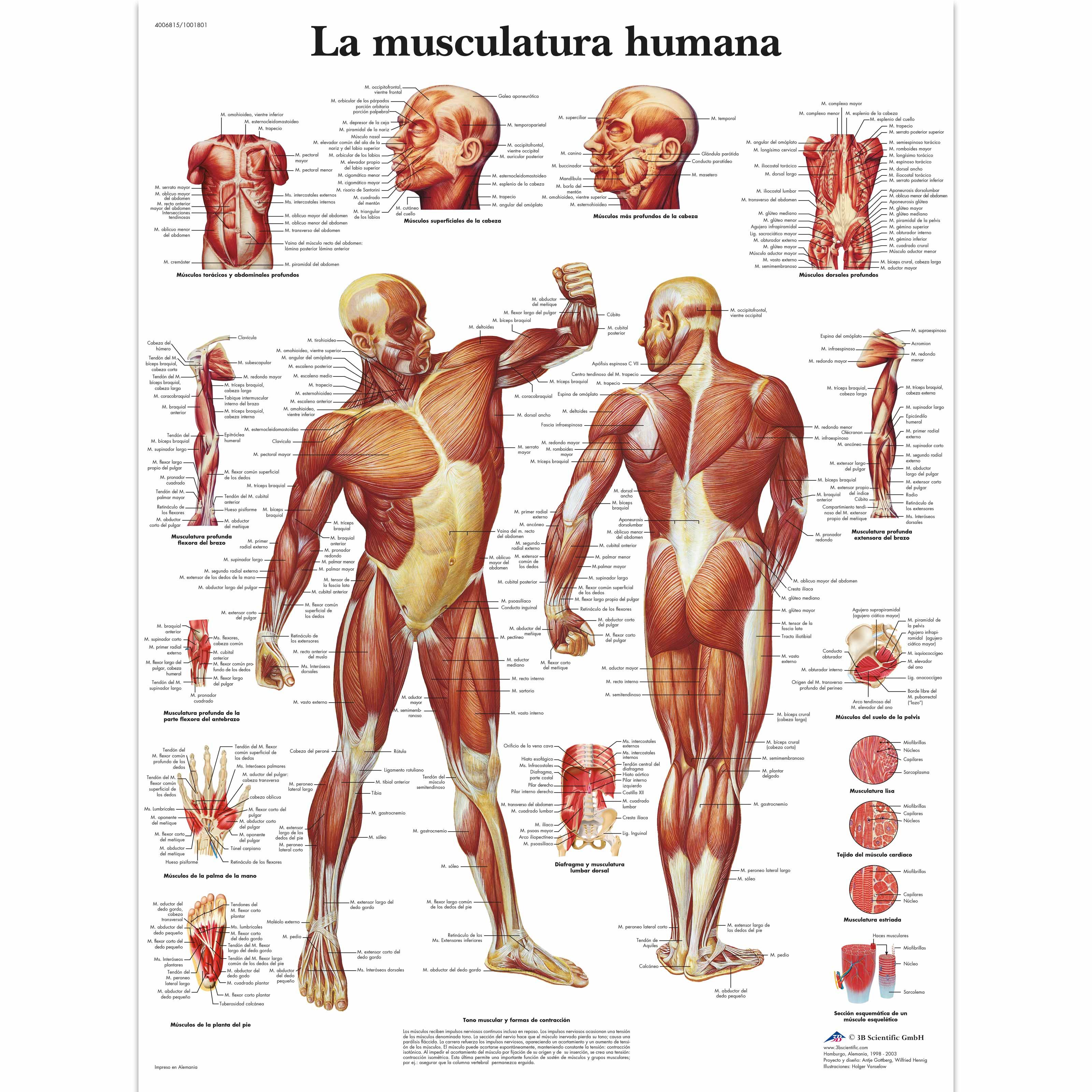 La Musculatura humana - 4006815 - VR3118UU - Muscle - 3B Scientific