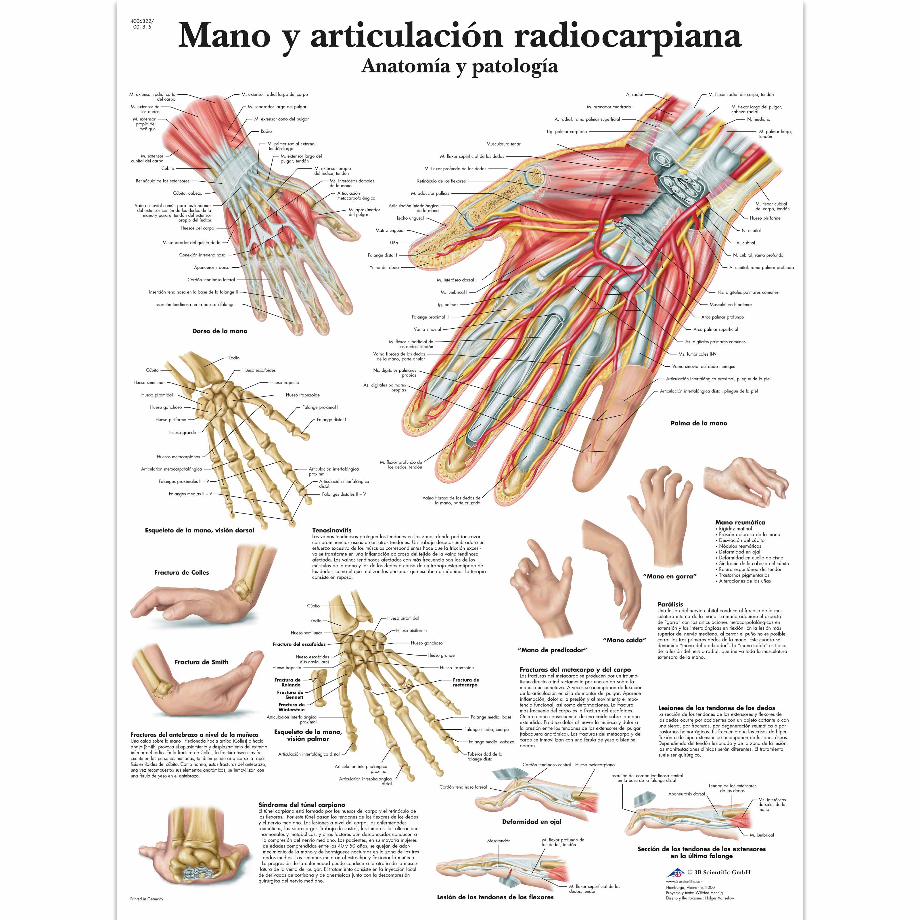 Mano y articulación radiocarpiana - Anatomía y patología - 4006822 ...