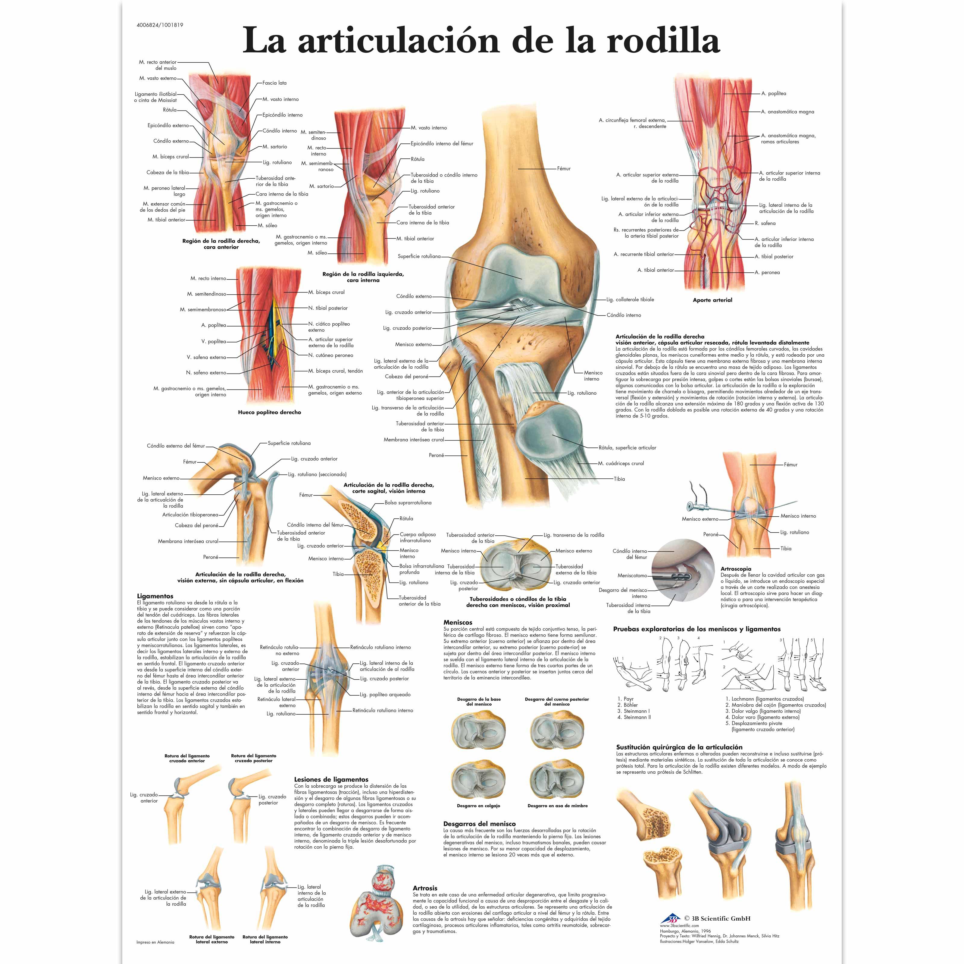 Lujo Anatomía Funcional De La Rodilla Festooning - Imágenes de ...