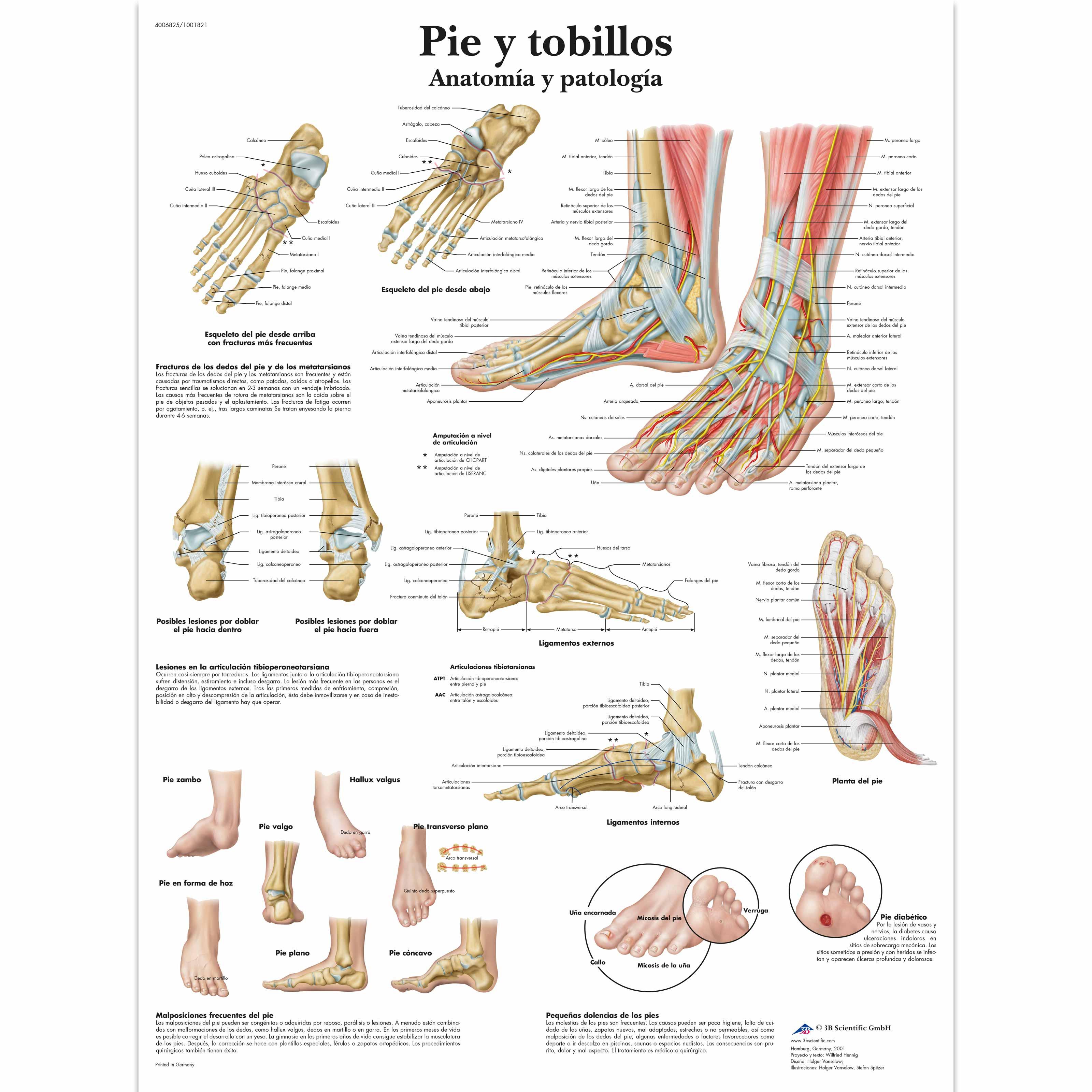 Pie y tobillos - Anatomía y patología - 4006825 - VR3176UU ...