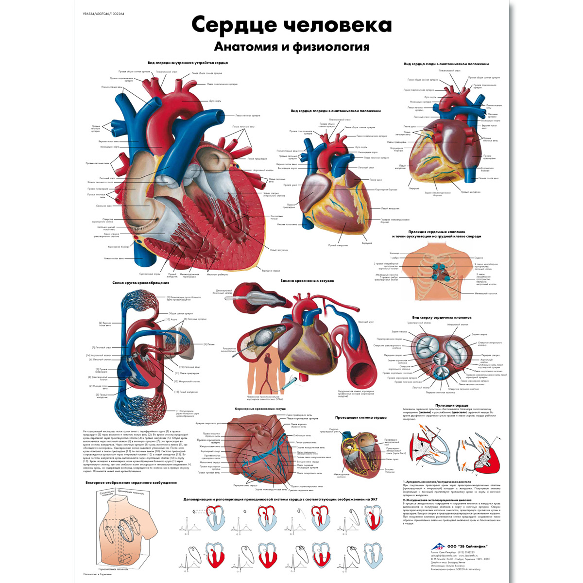 The human heart Chart - Anatomy and Physiology - 1002264 - VR6334L ...