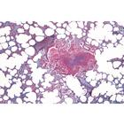 Histology of Mammalia, Elementary Set - English Slides, 1004231 [W13406], Micro Slides