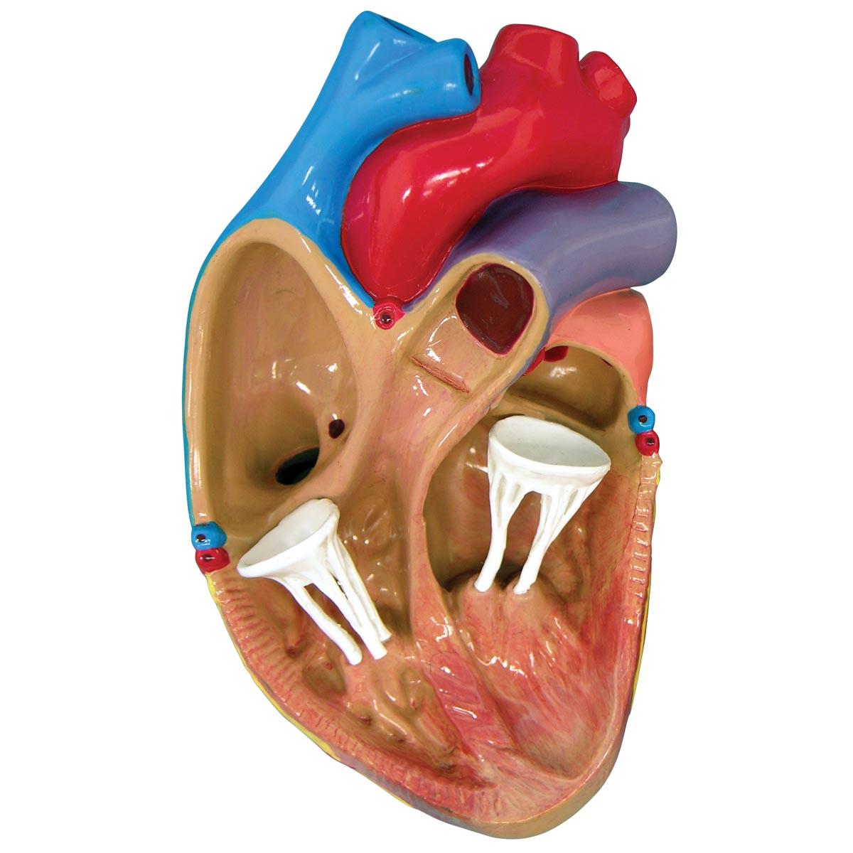 3 Mini Heart Model Set 1019530 W33365 2550 Anatomical Models