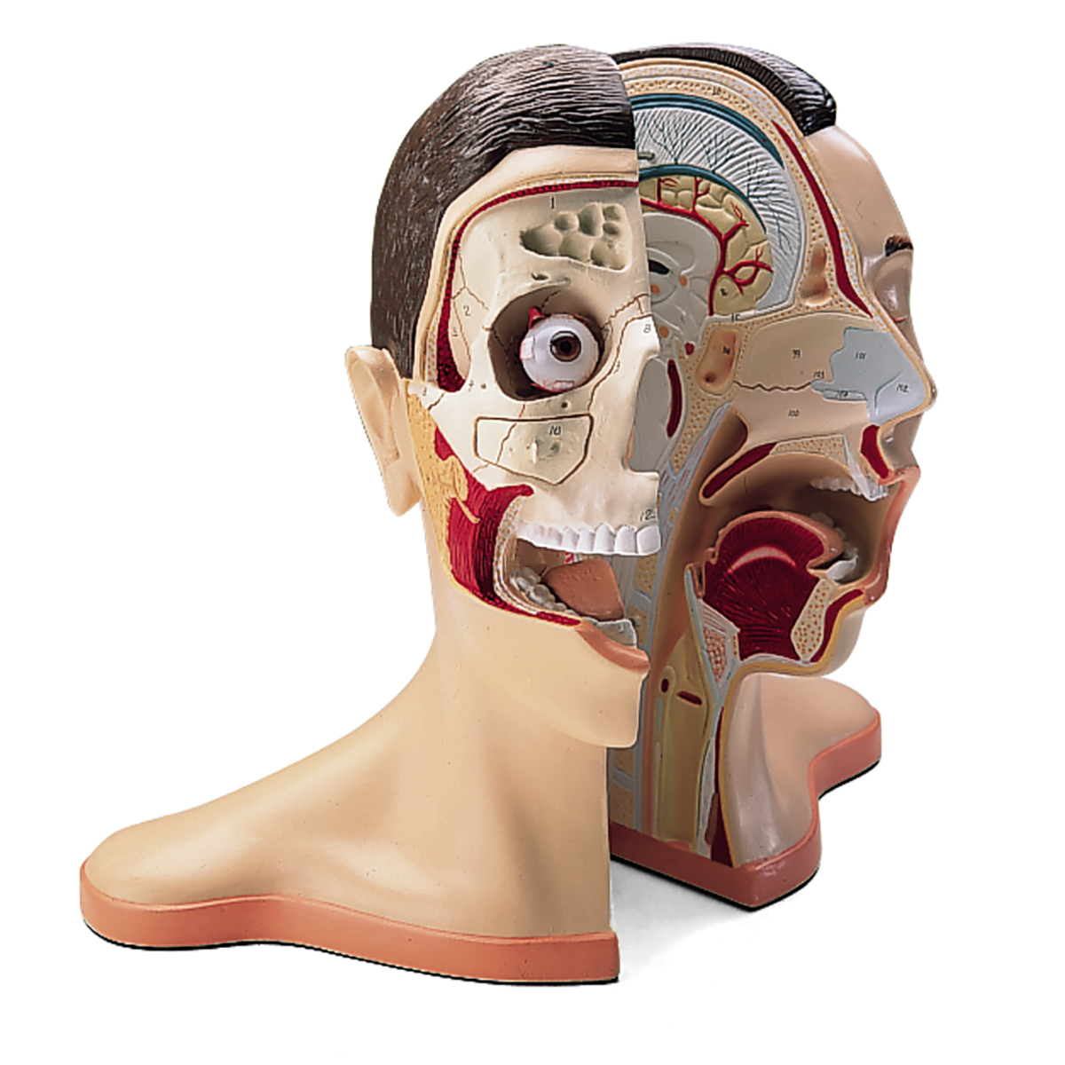 Anatomical Teaching Models - Plastic Anatomy Models - Head and Neck ...